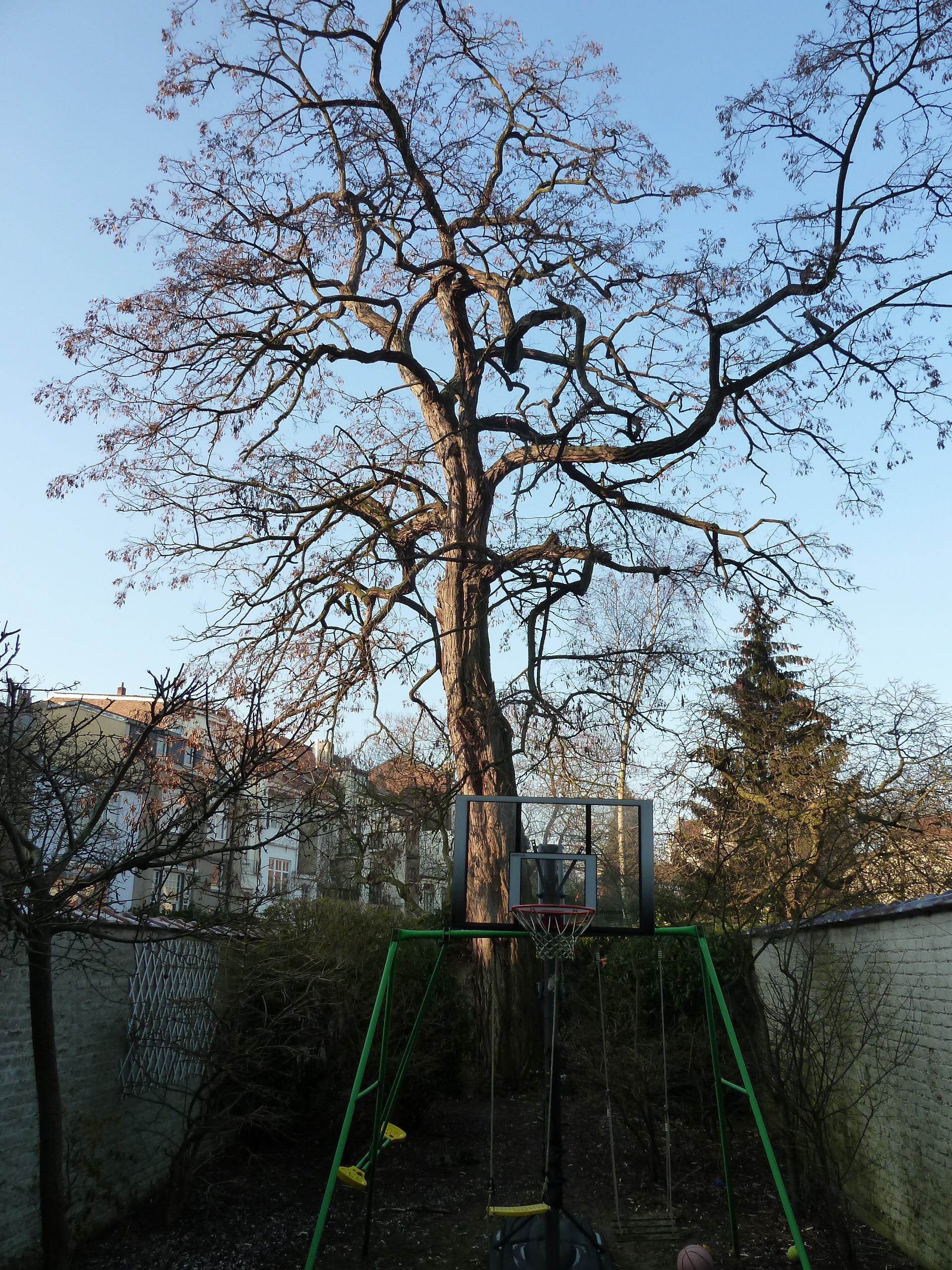 Robinier faux-acacia – Ixelles, Rue Edmond Picard, 13 –  01 Février 2011
