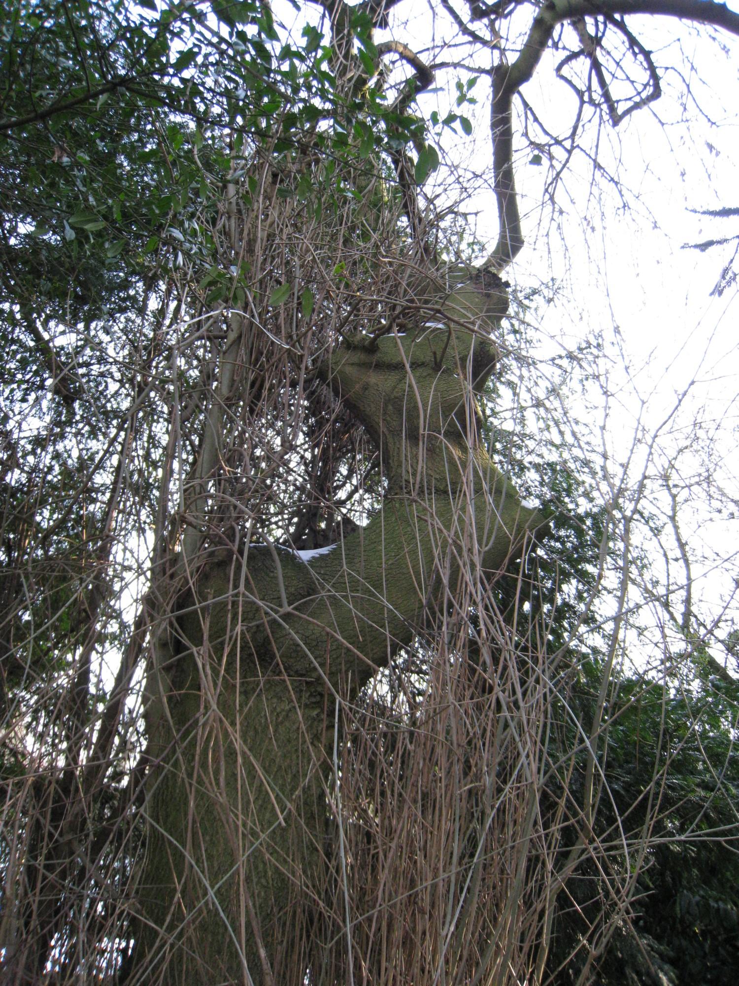 Frêne pleureur – Uccle, Avenue Hamoir, 43 –  08 Février 2012