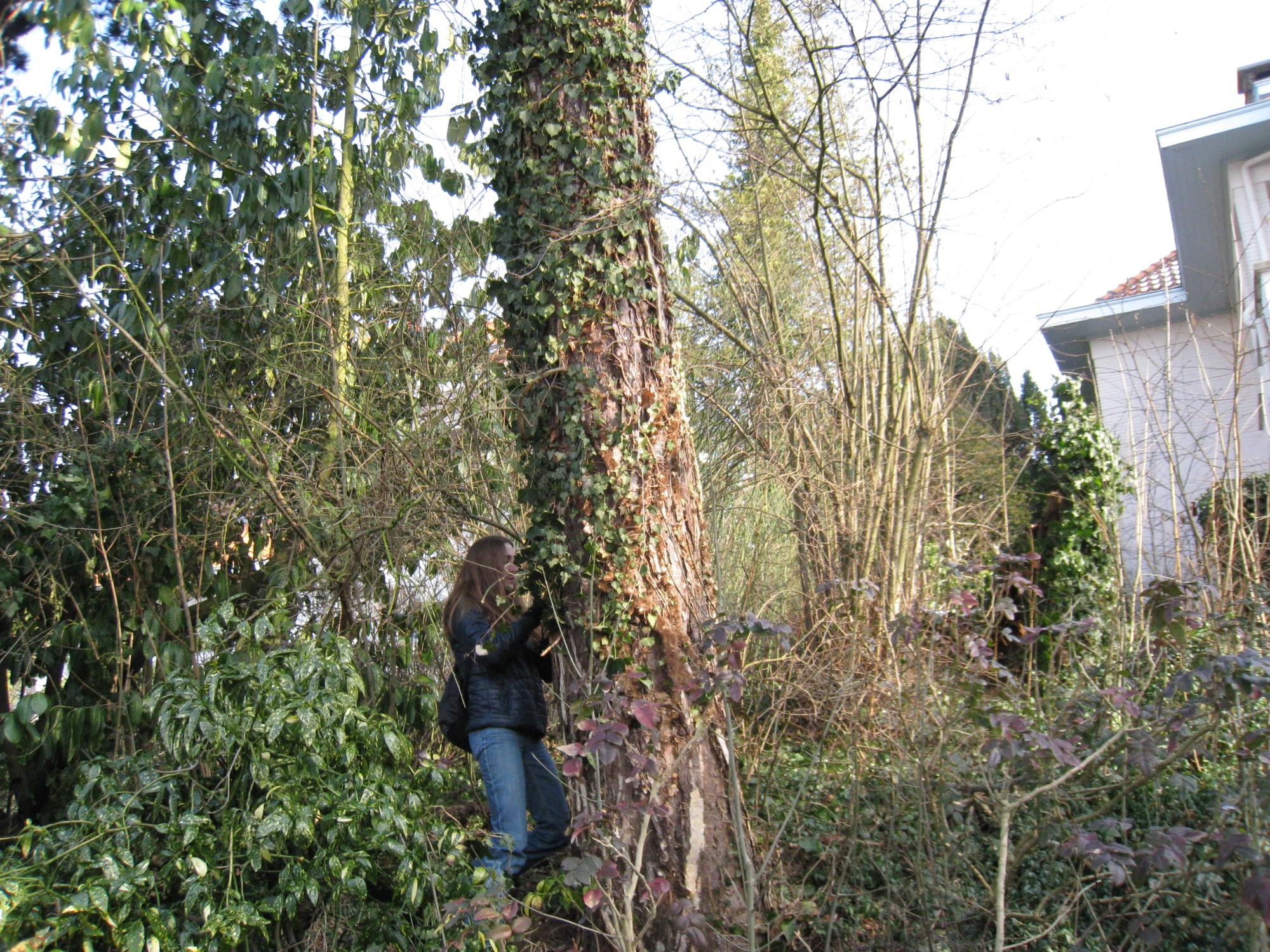 Pinus sp – Ukkel, Hamoirlaan, 43 –  08 February 2012