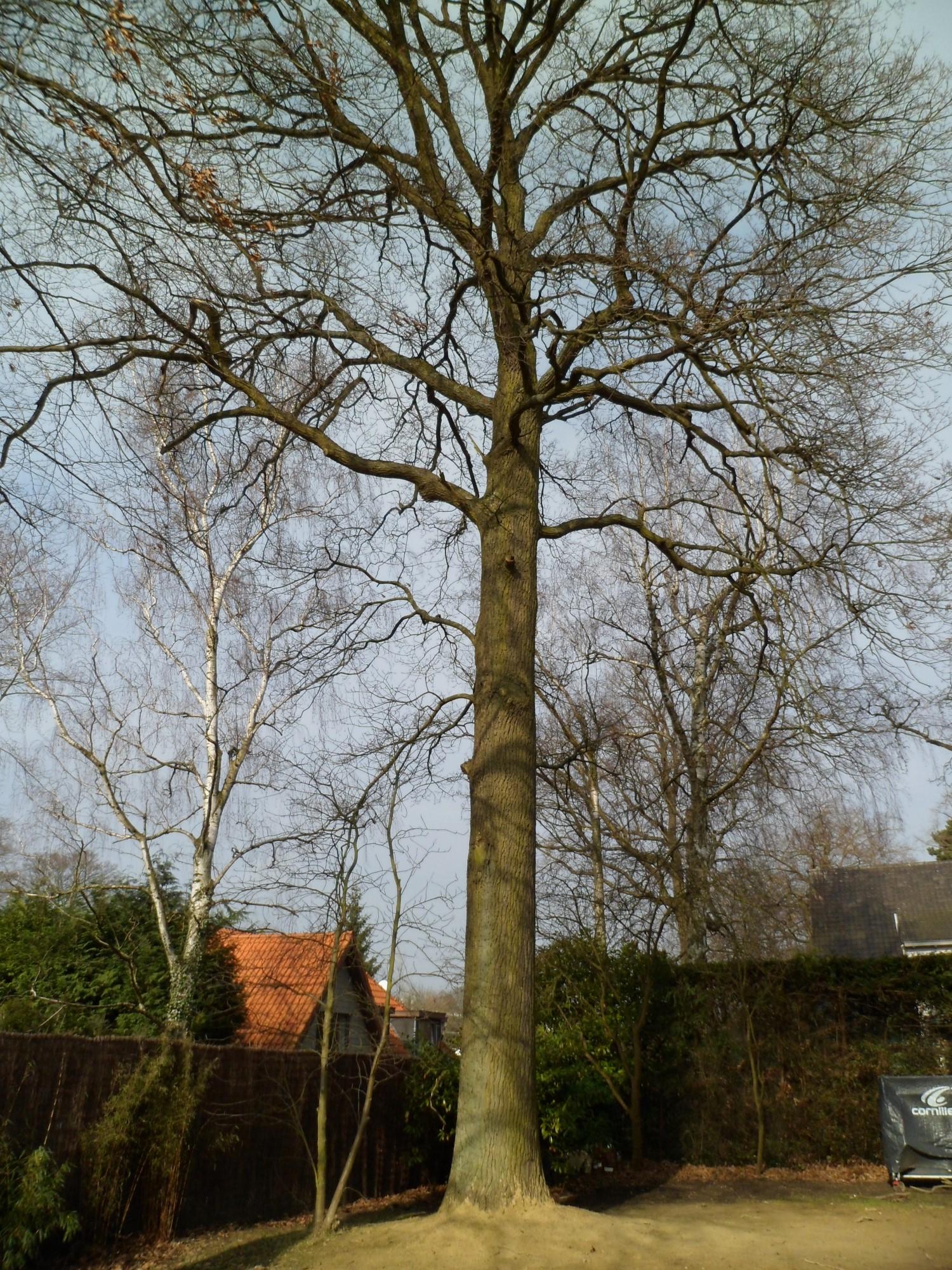 Chêne pédonculé – Uccle, Avenue du Fort-Jaco, 46 –  27 Février 2012