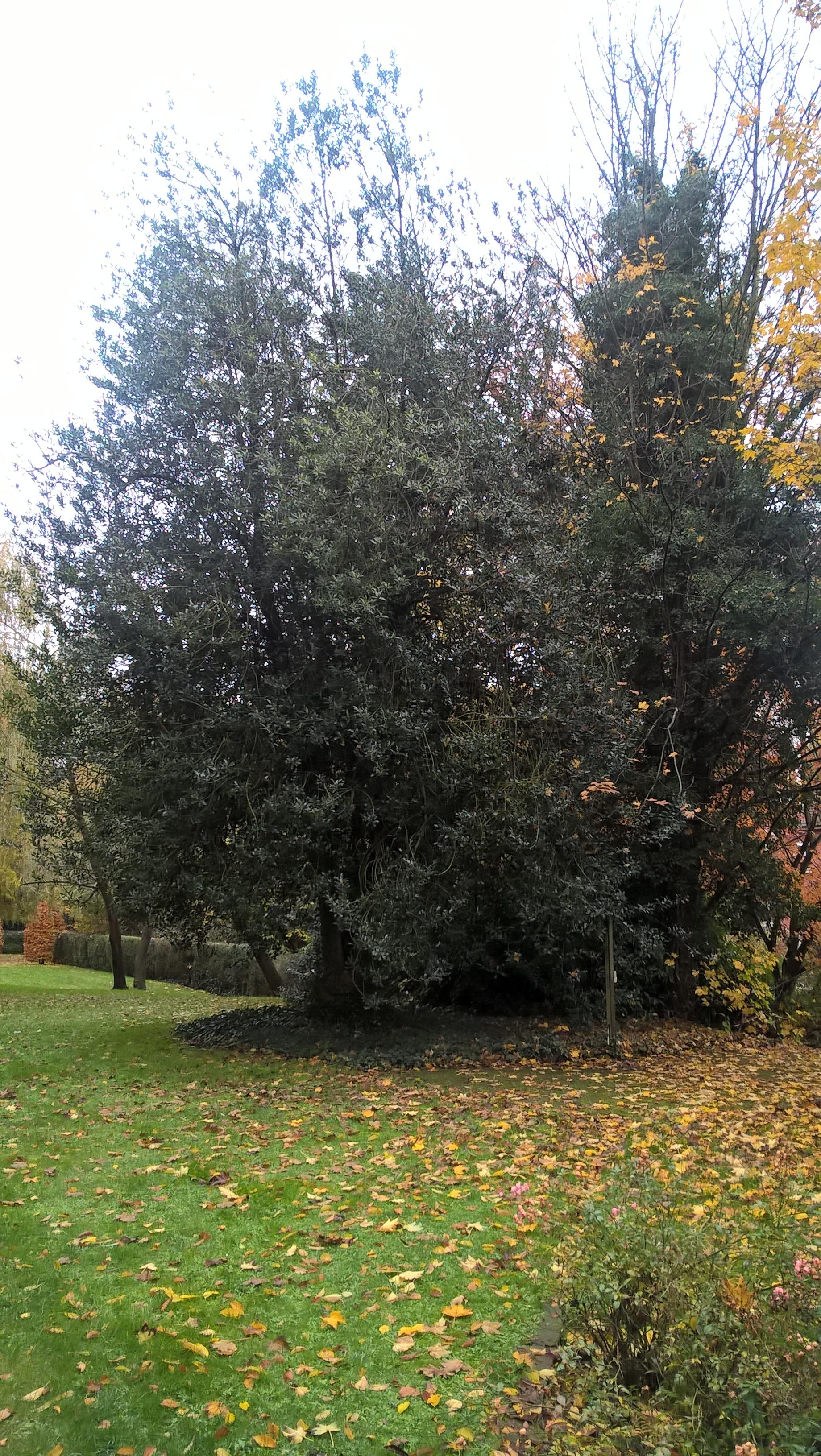 houx – Anderlecht, Rue de la Laiterie –  20 Novembre 2017