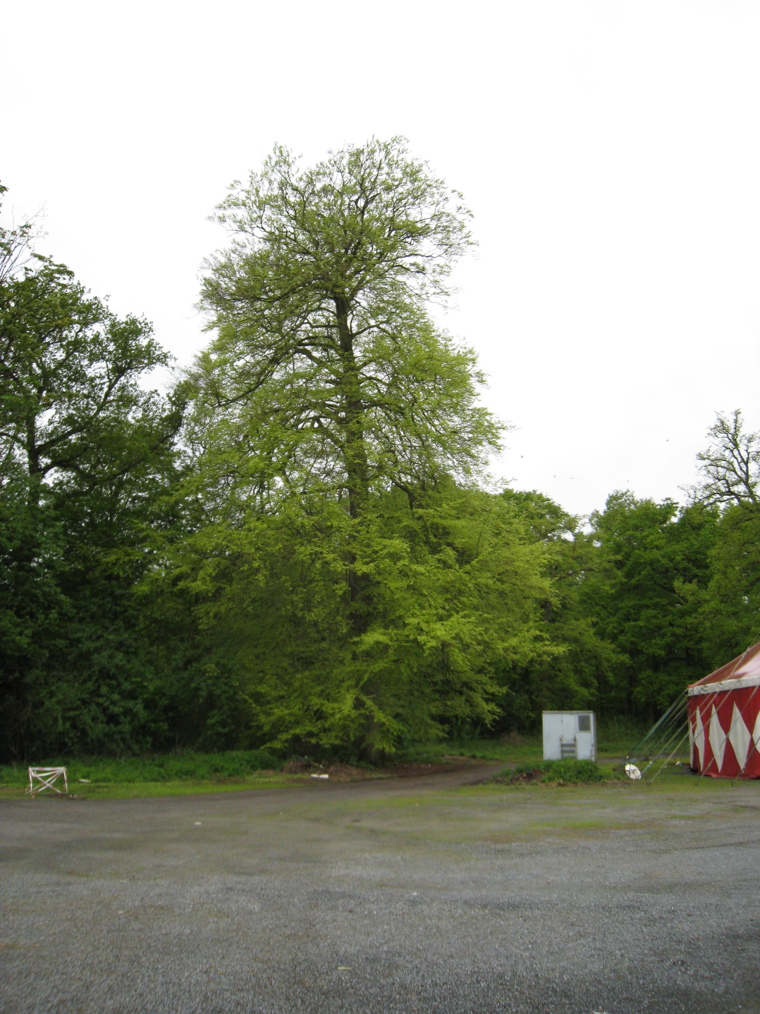 Hêtre d'Europe – Uccle, Hippodrome de Boitsfort –  08 Mai 2012