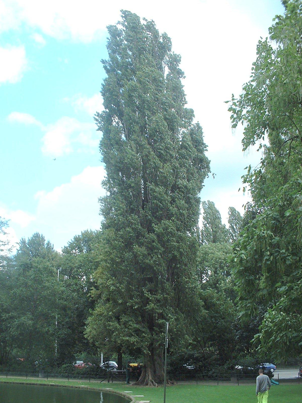 Peuplier d'Italie – Bruxelles, Square Clémentine, Square Clémentine –  20 Août 2004