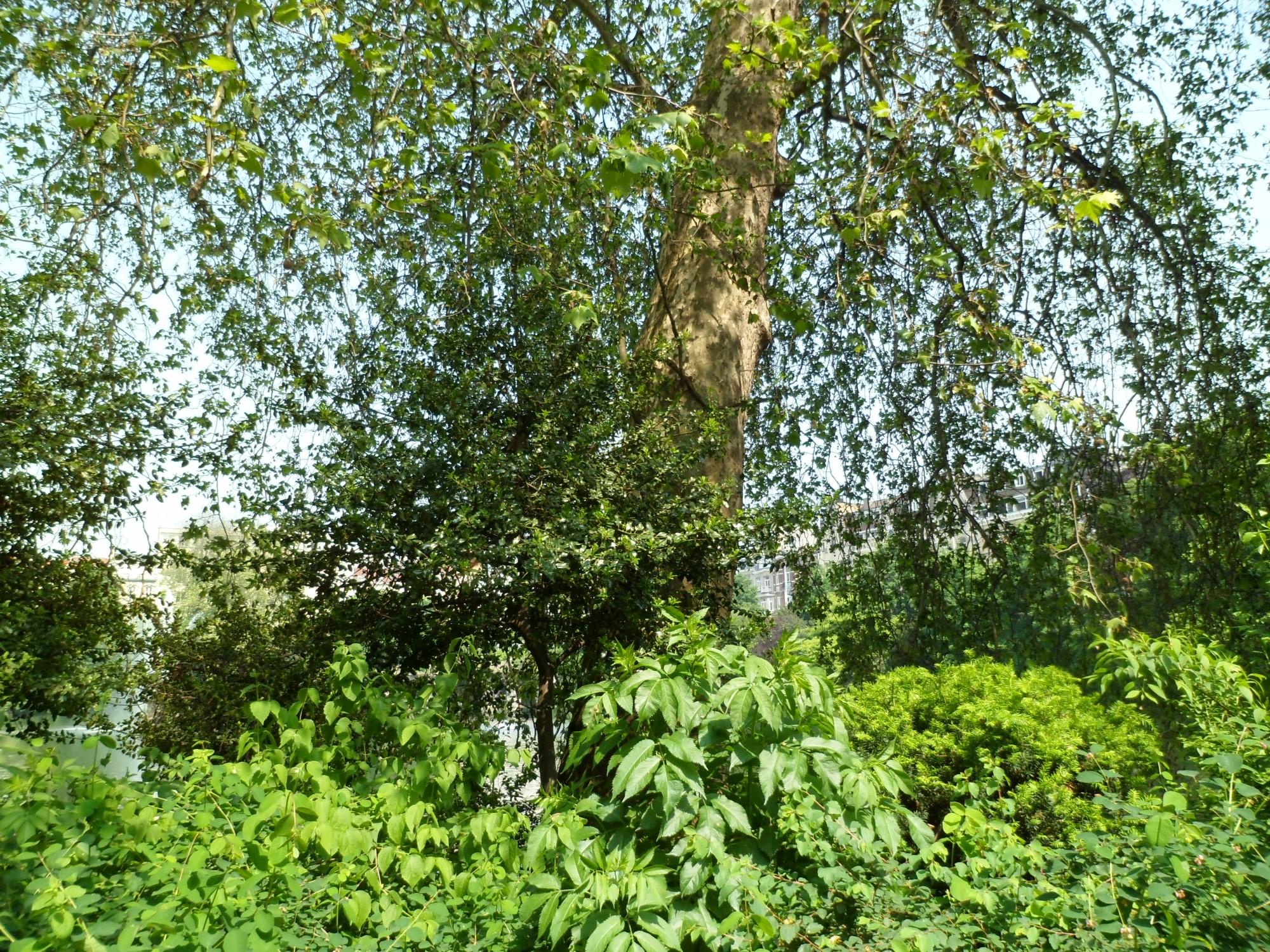 Platane à feuille d'érable – Bruxelles, Square Ambiorix, Marie Louise, Marguerite et avenue Palmerston, Square Marie-Louise –  23 Mai 2012