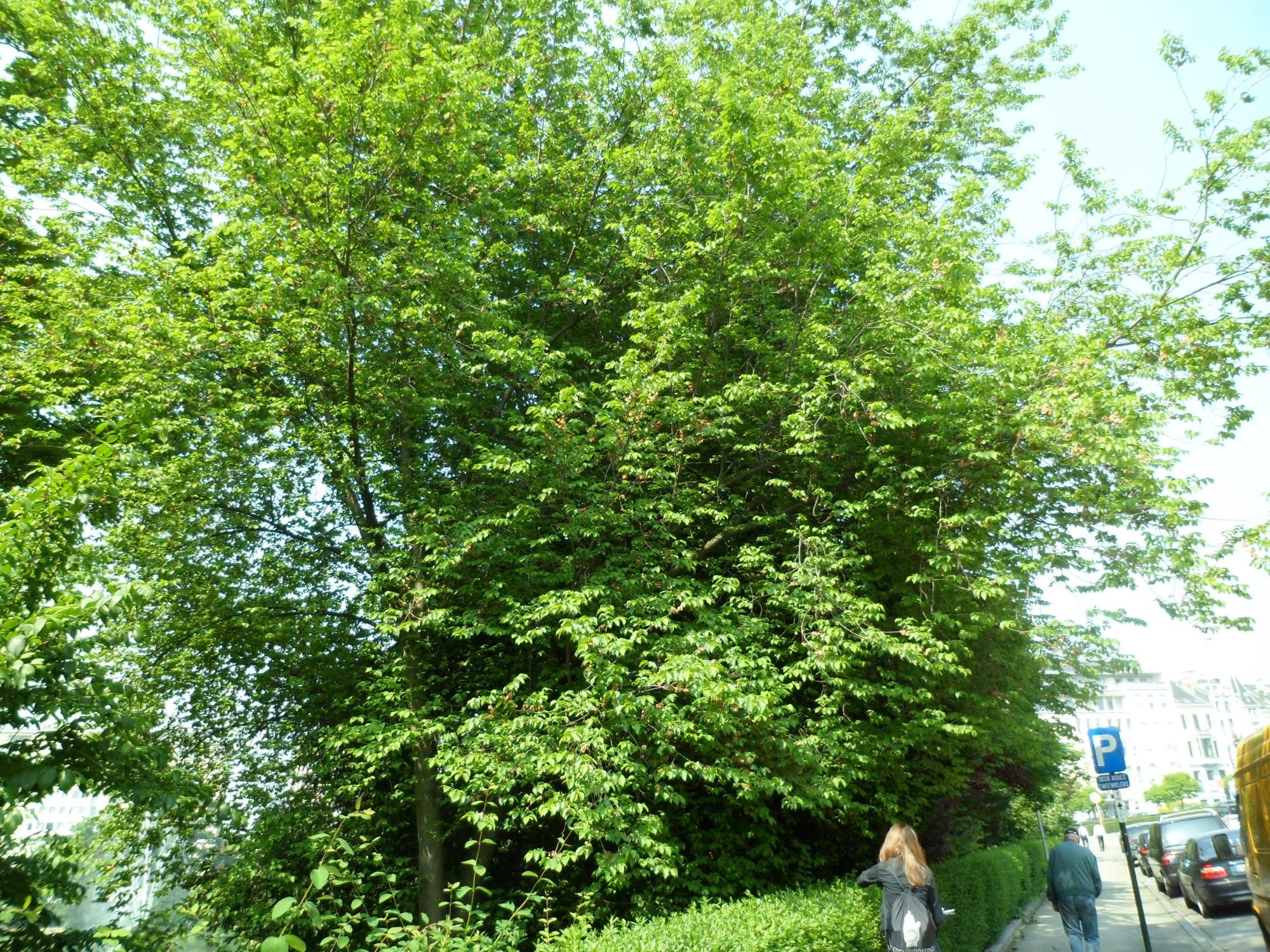 Orme lisse – Bruxelles, Square Ambiorix, Marie Louise, Marguerite et avenue Palmerston, Square Marie-Louise –  23 Mai 2012