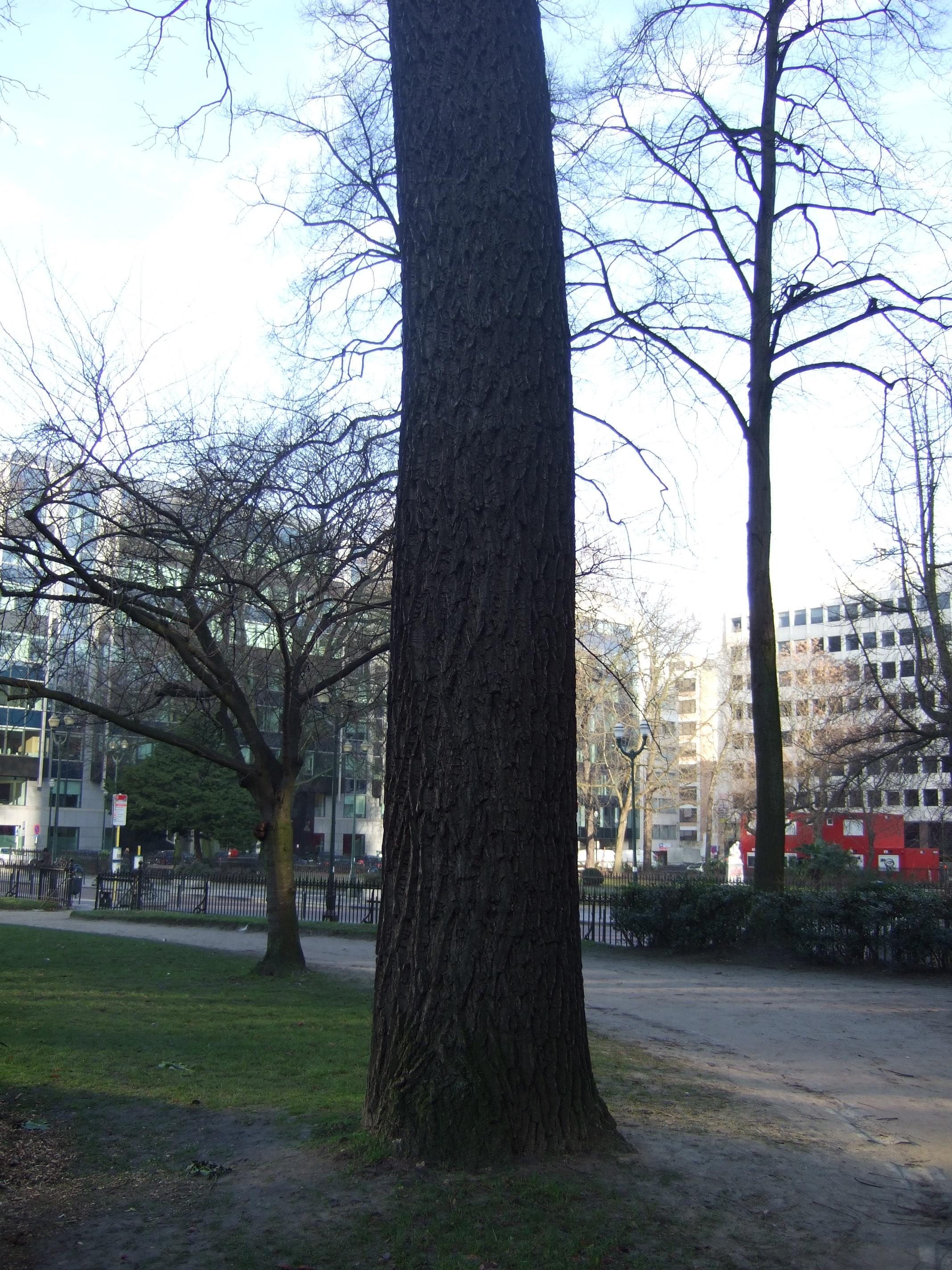 Noyer noir, Square de Meeûs sur Ixelles,  09 Février 2012
