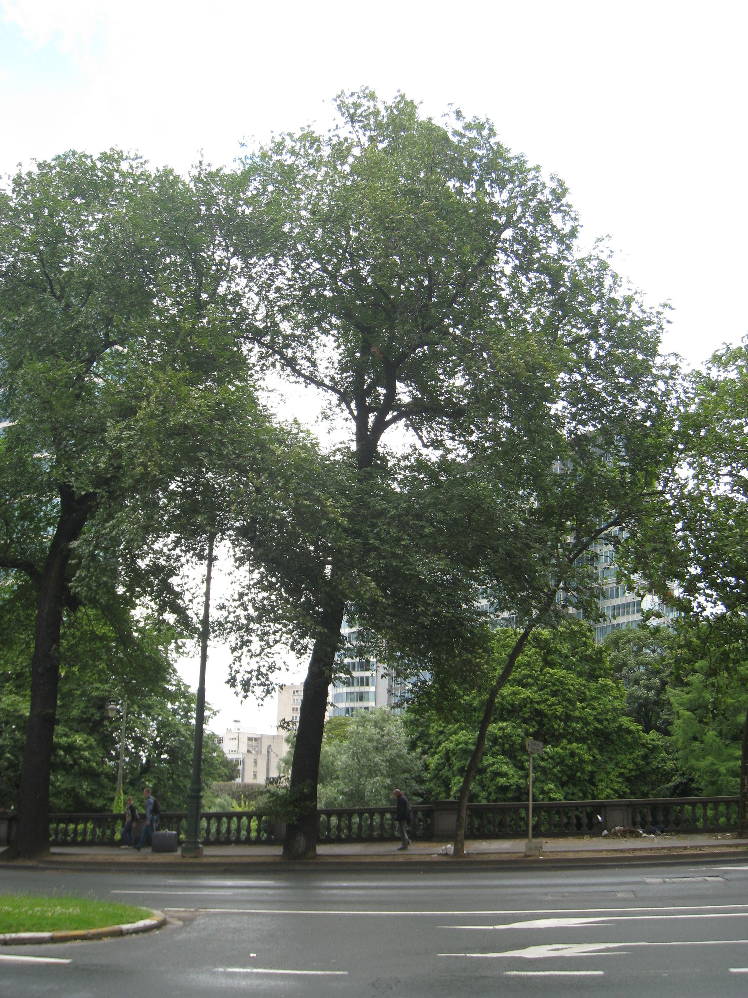 Orme champêtre – Bruxelles, Boulevard du Jardin Botanique –  19 Juillet 2012