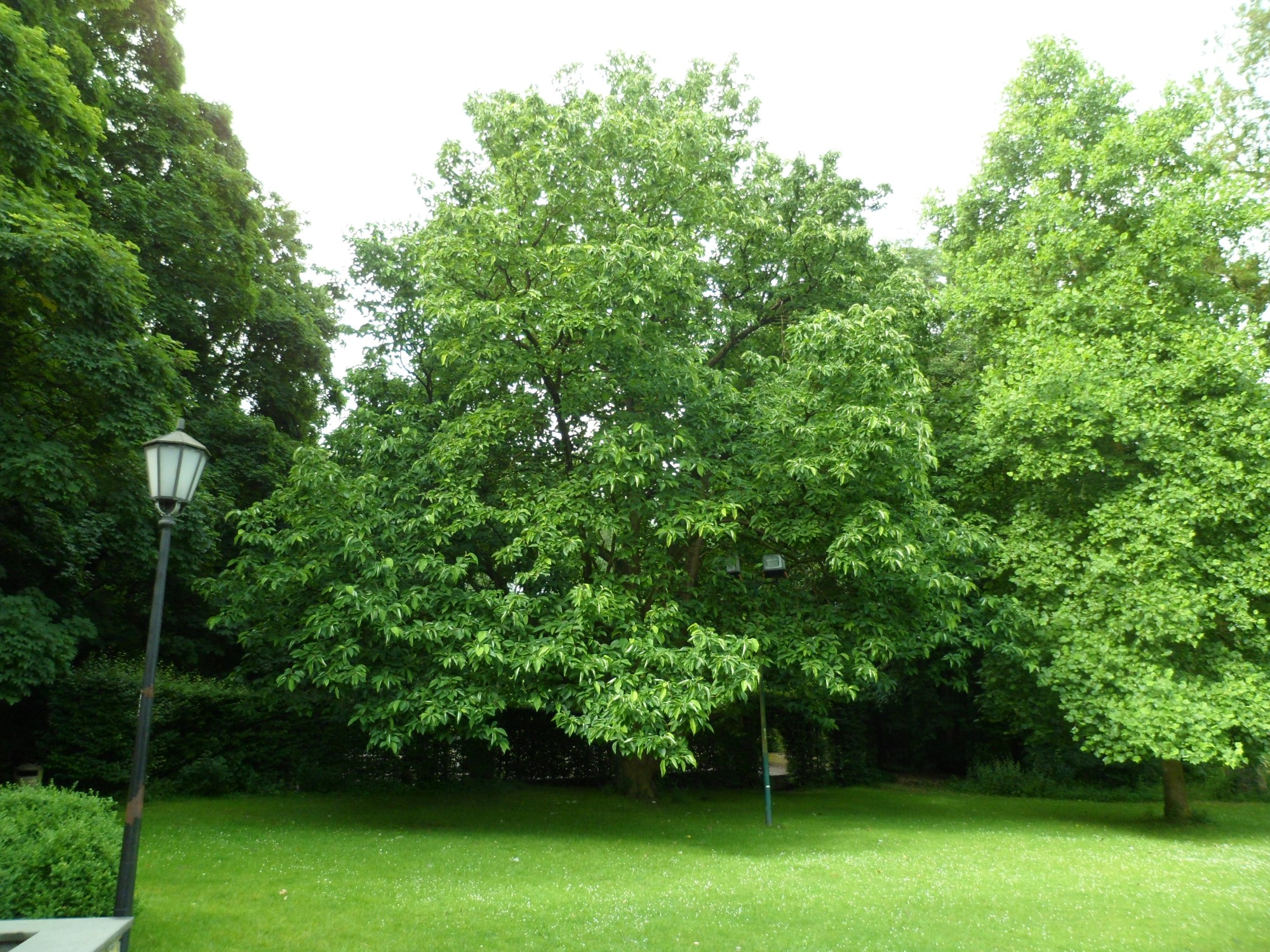 Magnolier à feuilles acuminées – Woluwé-Saint-Lambert, Parc Malou –  29 Juin 2012