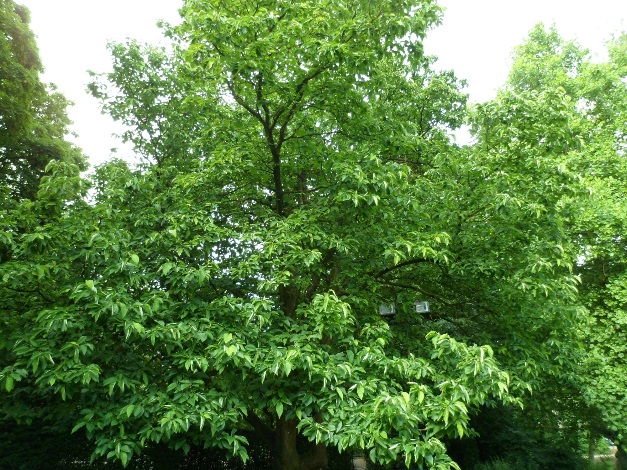 Magnolier à feuilles acuminées, Parc Malou