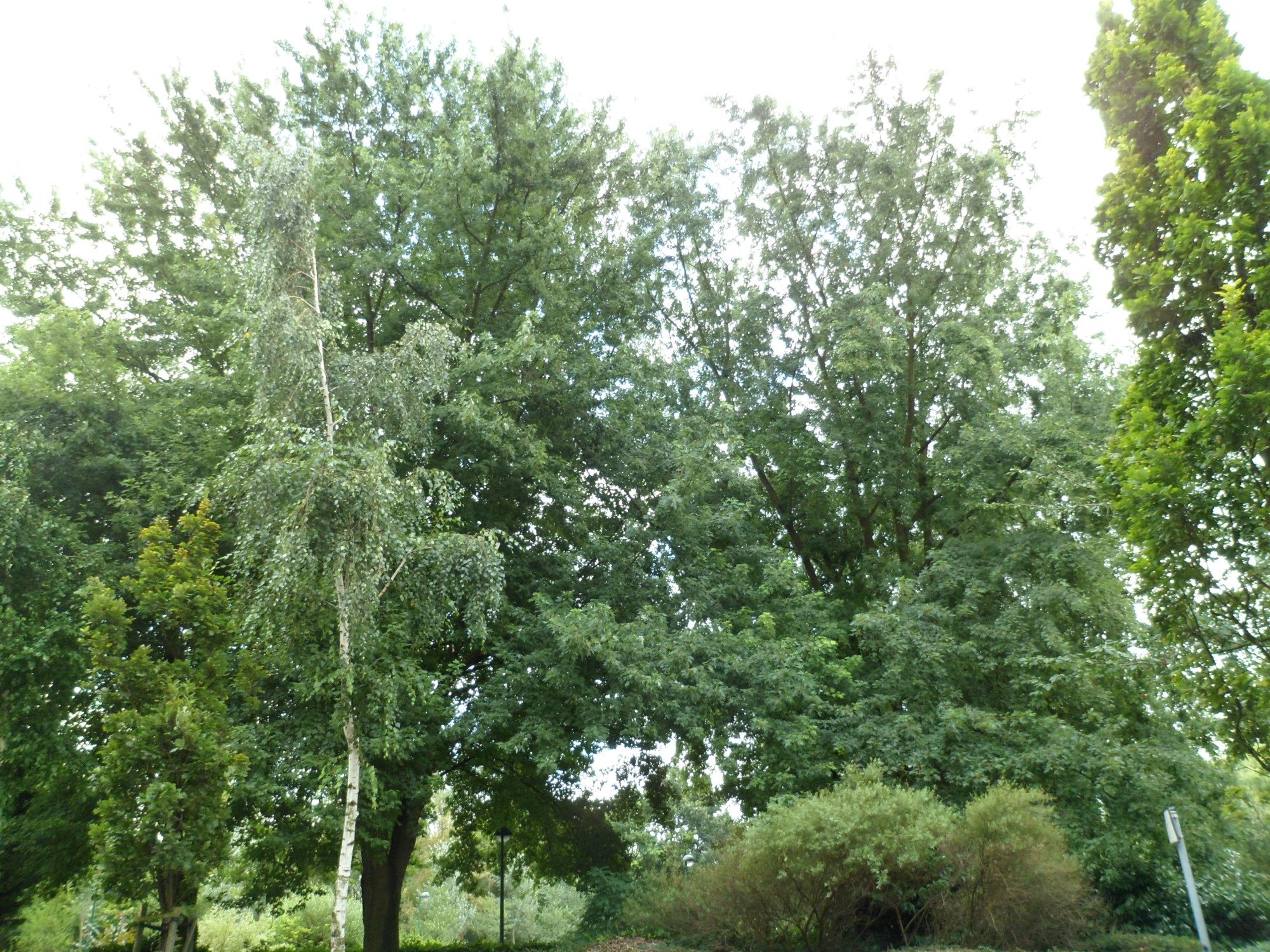 Erable argenté – Molenbeek-Saint-Jean, Rue des Fuchsias –  30 Août 2012