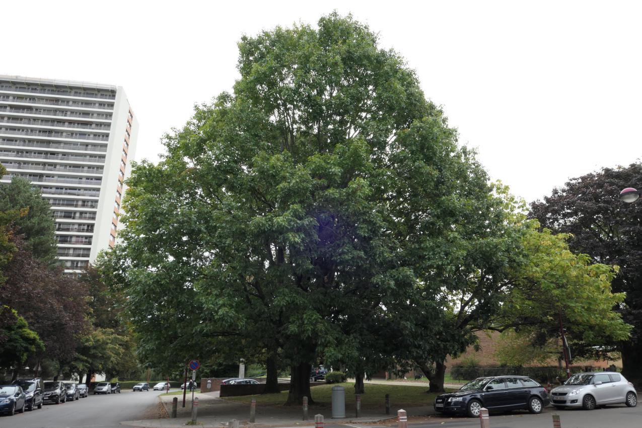 Chêne rouge d'Amérique – Jette, Avenue Joseph De Heyn –  24 Septembre 2019