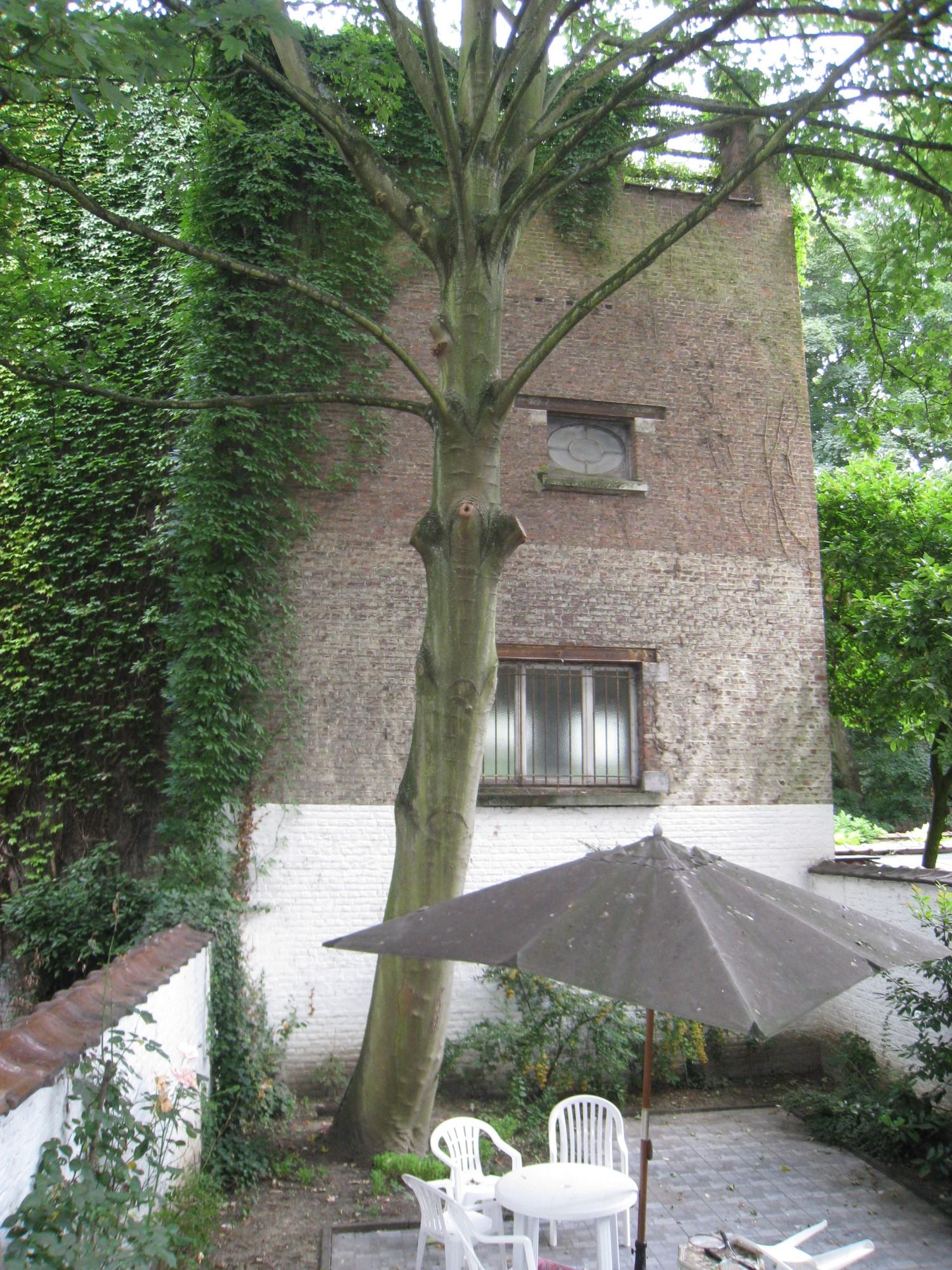 Gewone esdoorn – Elsene, Brugmannlaan, 180 –  19 September 2012