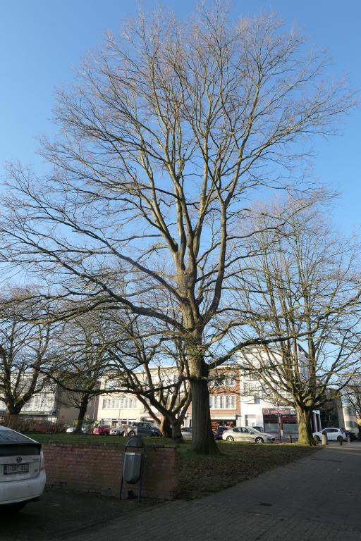 Chêne à feuilles de châtaignier – Jette, Avenue Joseph De Heyn –  18 Décembre 2019