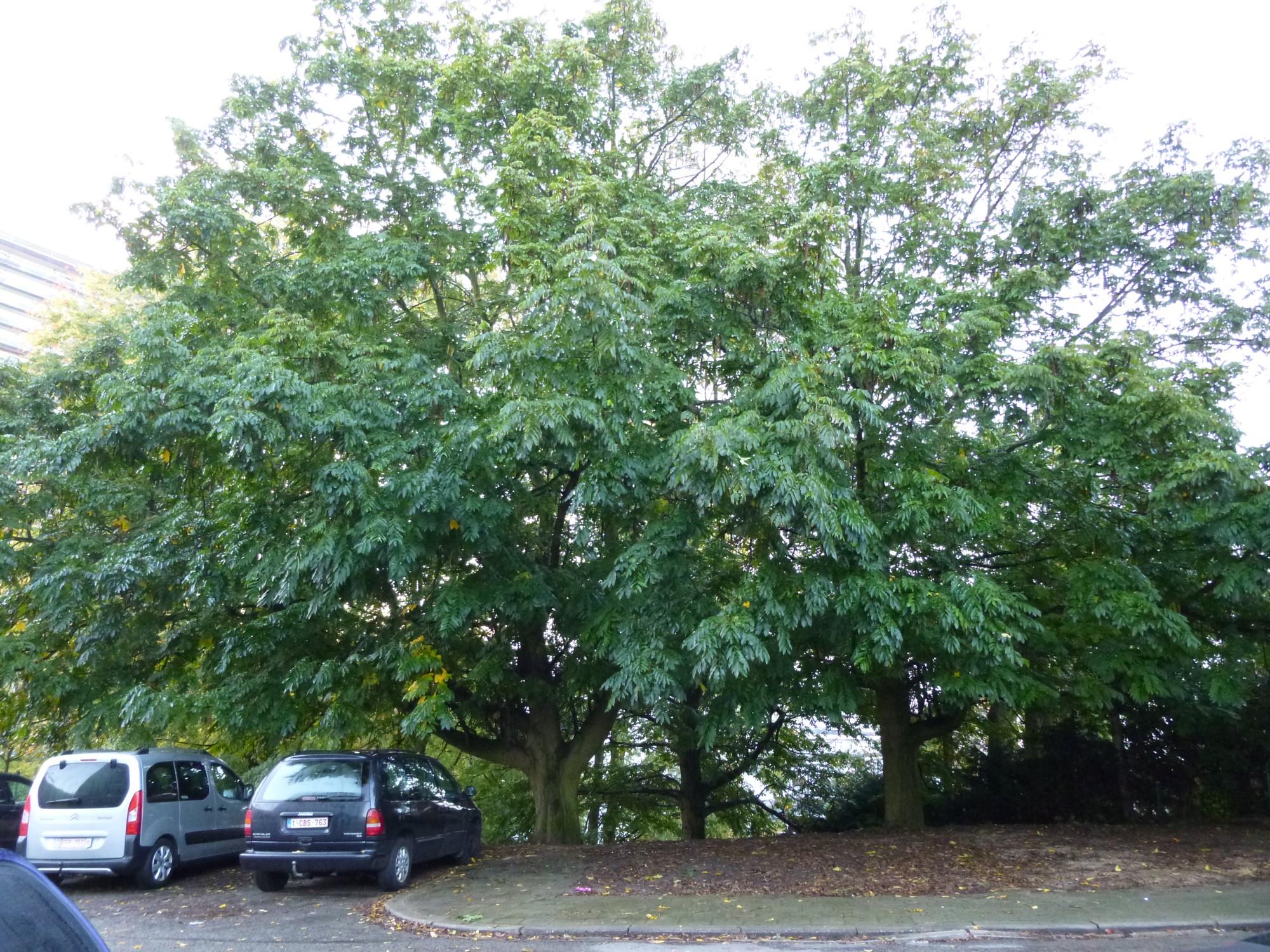 Ptérocaryer à feuilles de frêne – Bruxelles, Rue du Rubis –  15 Octobre 2012