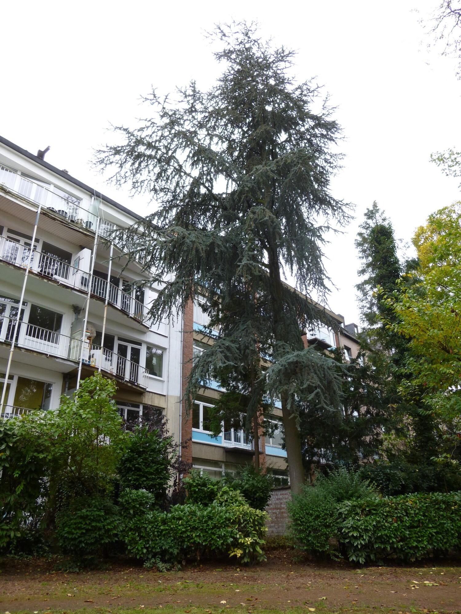 Cèdre bleu de l'Atlas – Ixelles, Parc Buchholtz, Rue Américaine –  08 Novembre 2012