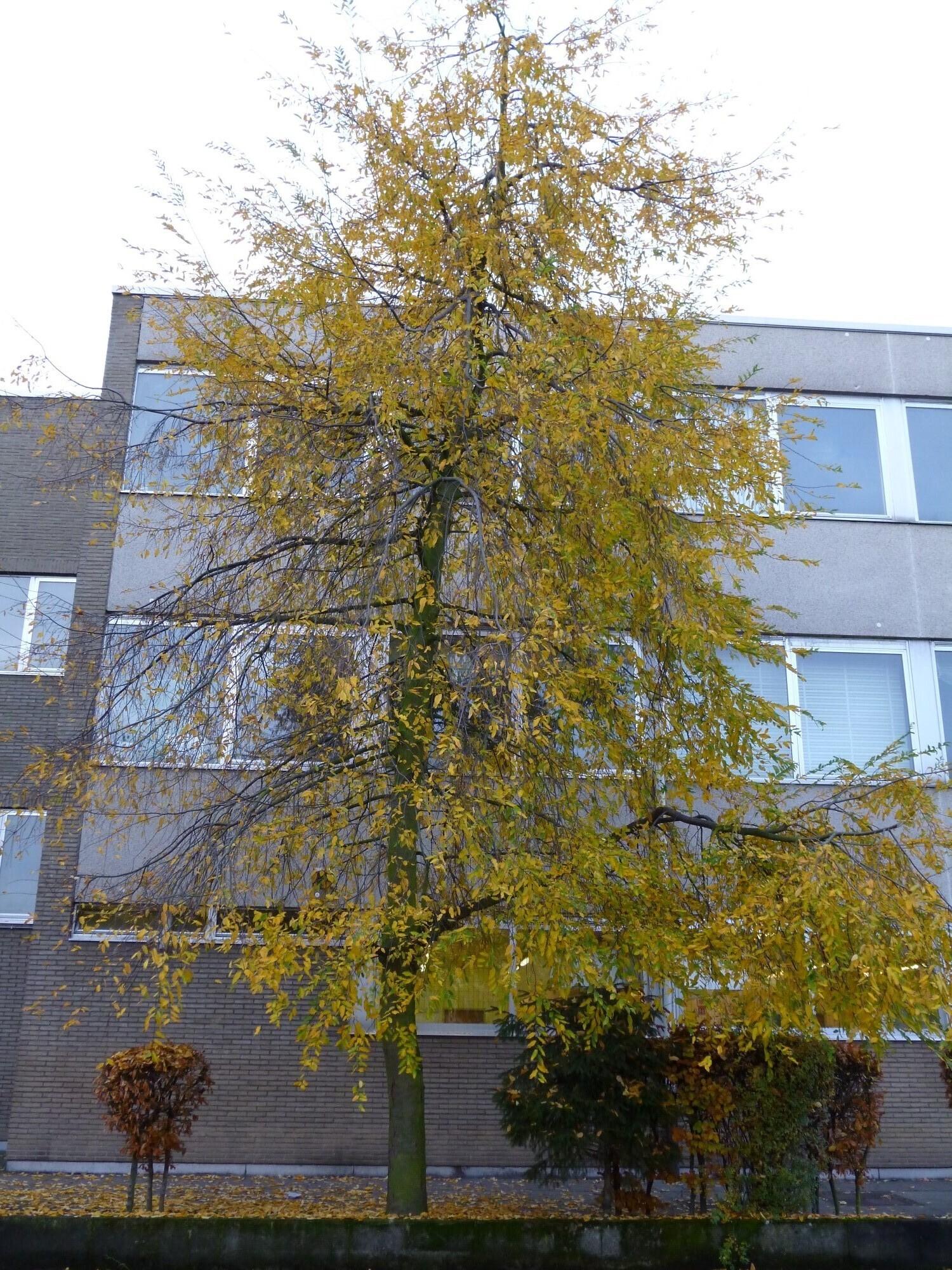 Nothofagus obliqua – Jette, Avenue de Levis Mirepoix, 100 –  20 Novembre 2012