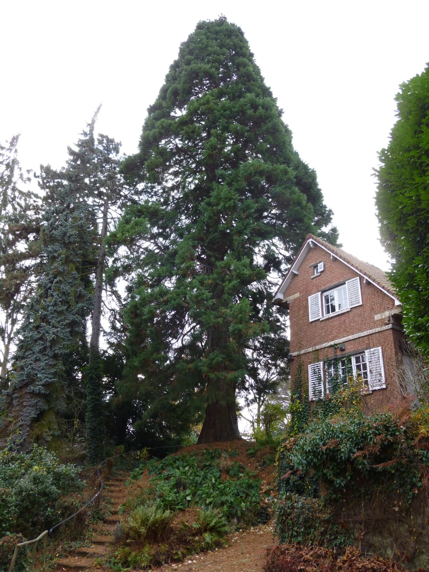Sequoia géant – Uccle, Rue Copernic, 91 –  27 Novembre 2012