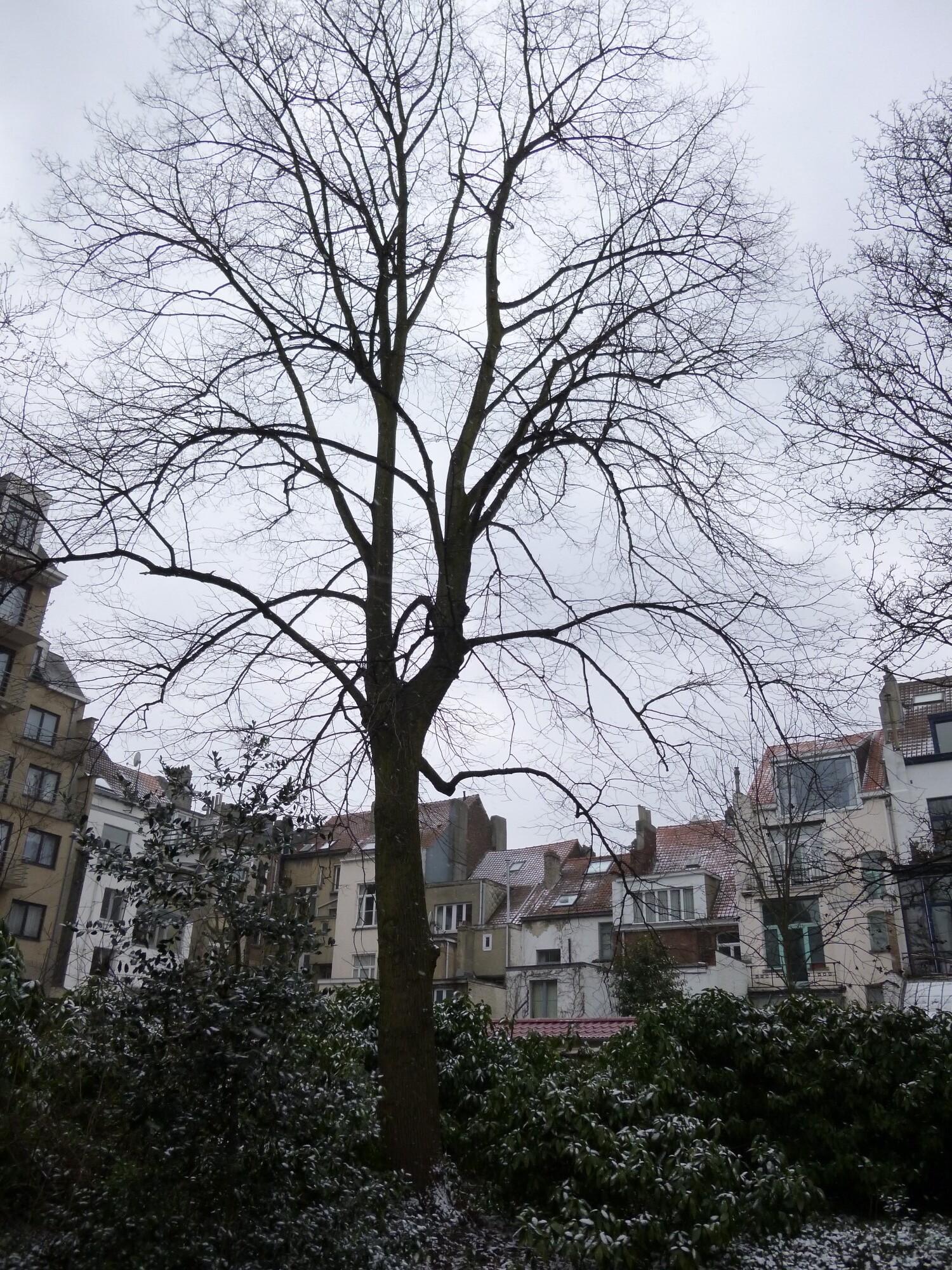 Tilleul commun – Bruxelles, Avenue de la Renaissance, 52 –  11 Mars 2013