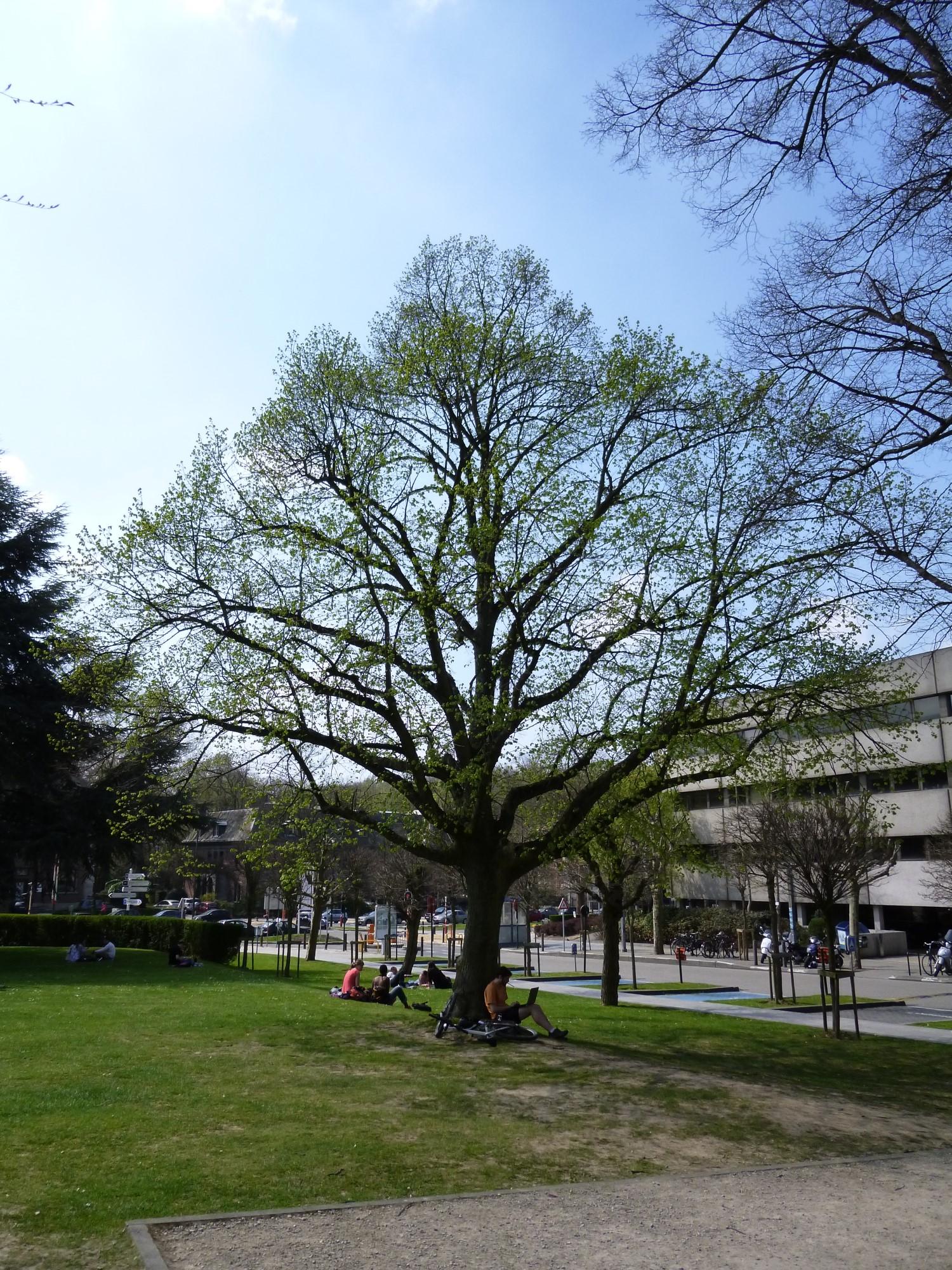 Tilleul à larges feuilles – Bruxelles, Abords du bâtiment A de l'ULB, Avenue Franklin Roosevelt, 50 –  25 Avril 2013