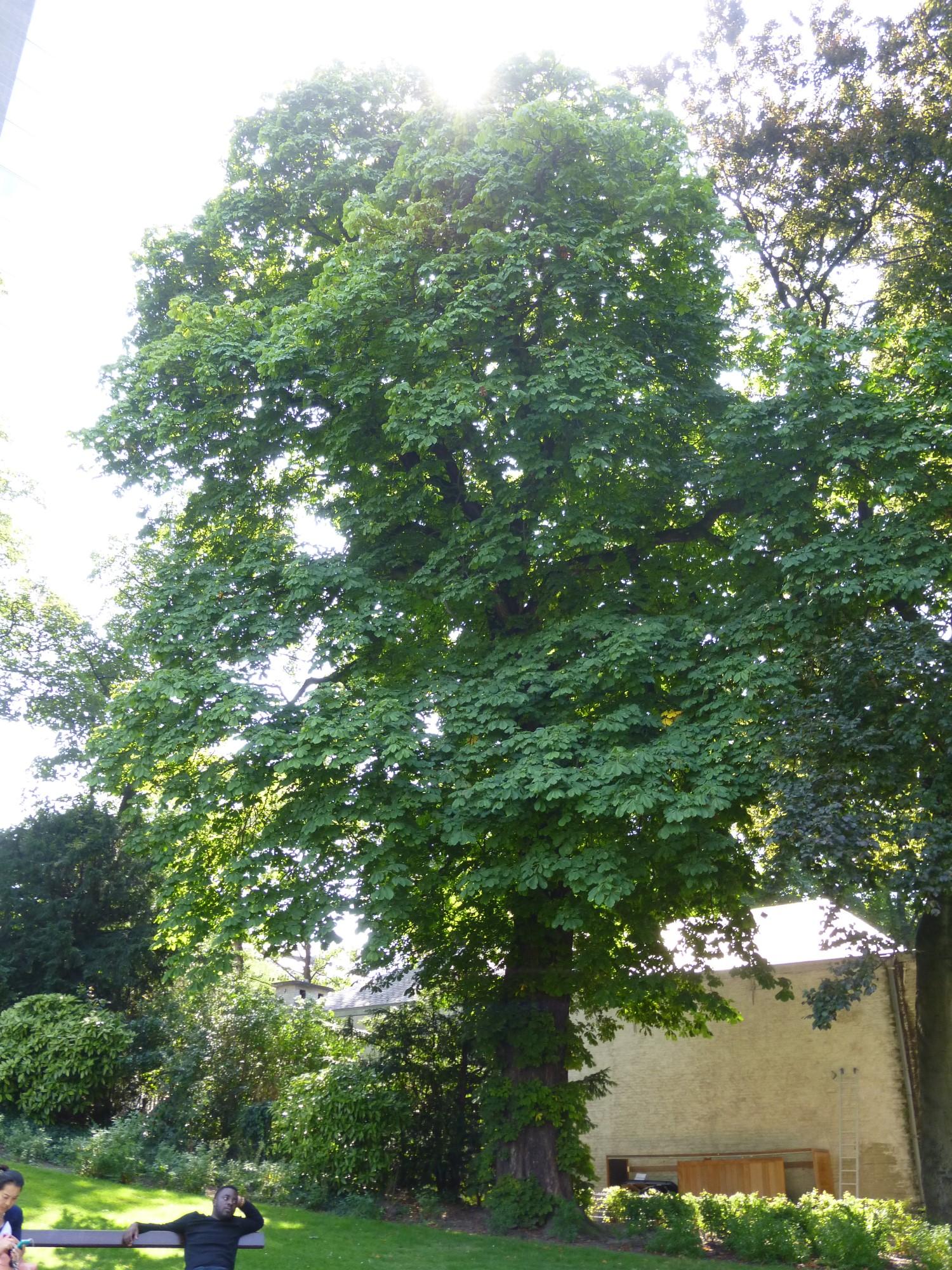 Marronnier commun – Bruxelles, Parc d'Egmont –  21 Août 2013