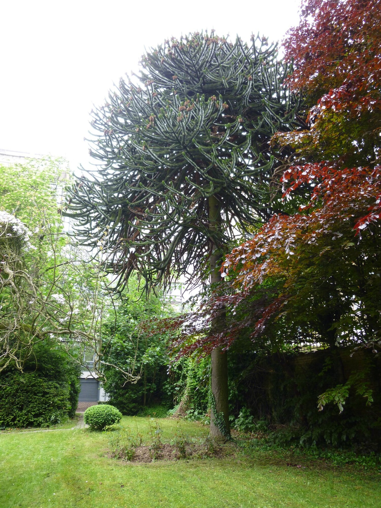 Araucaria du Chili – Ixelles, Rue de Belle-Vue, 18 –  22 Mai 2013