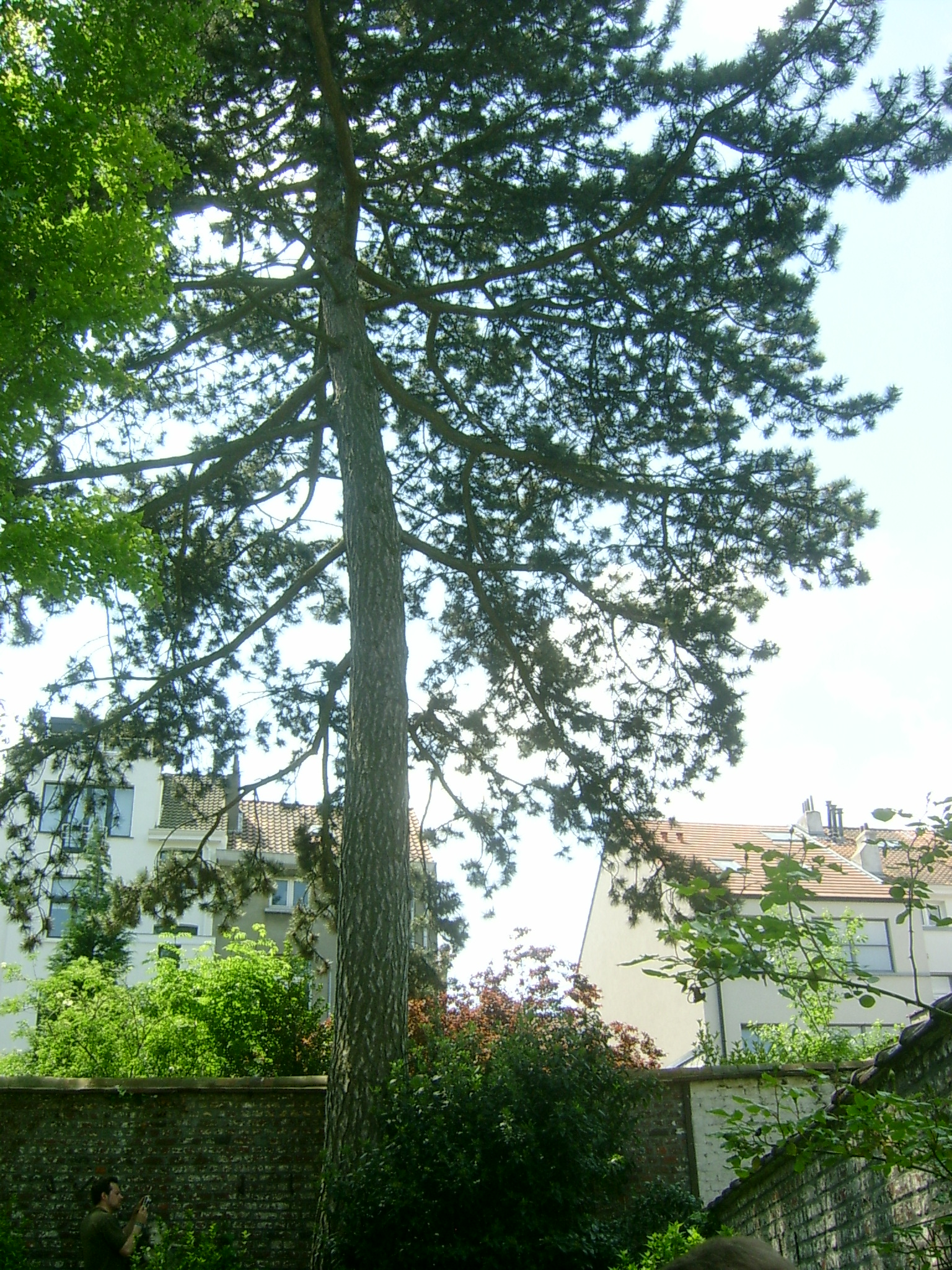 Pin noir – Ixelles, Rue de Livourne, 77 –  06 Juin 2013