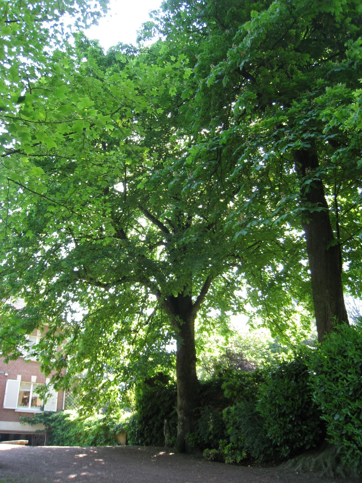 Tilleul à larges feuilles – Ixelles, Avenue du Derby, 12 –  06 Juin 2013