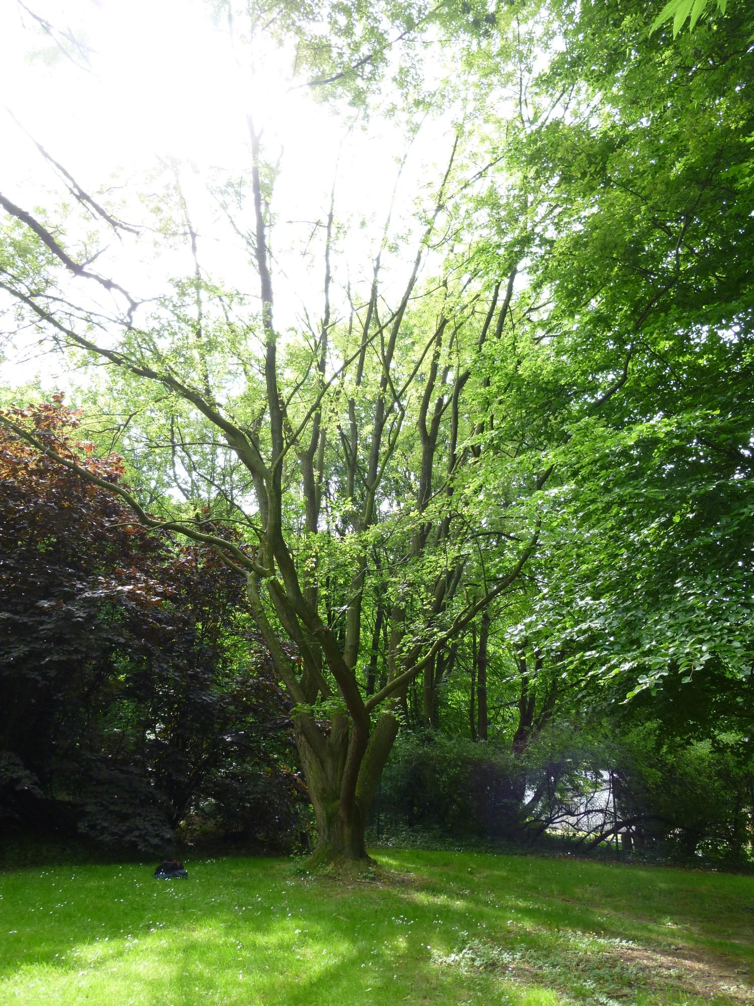 Cerisier à grappes – Schaerbeek, Rue Colonel Bourg –  18 Juin 2013