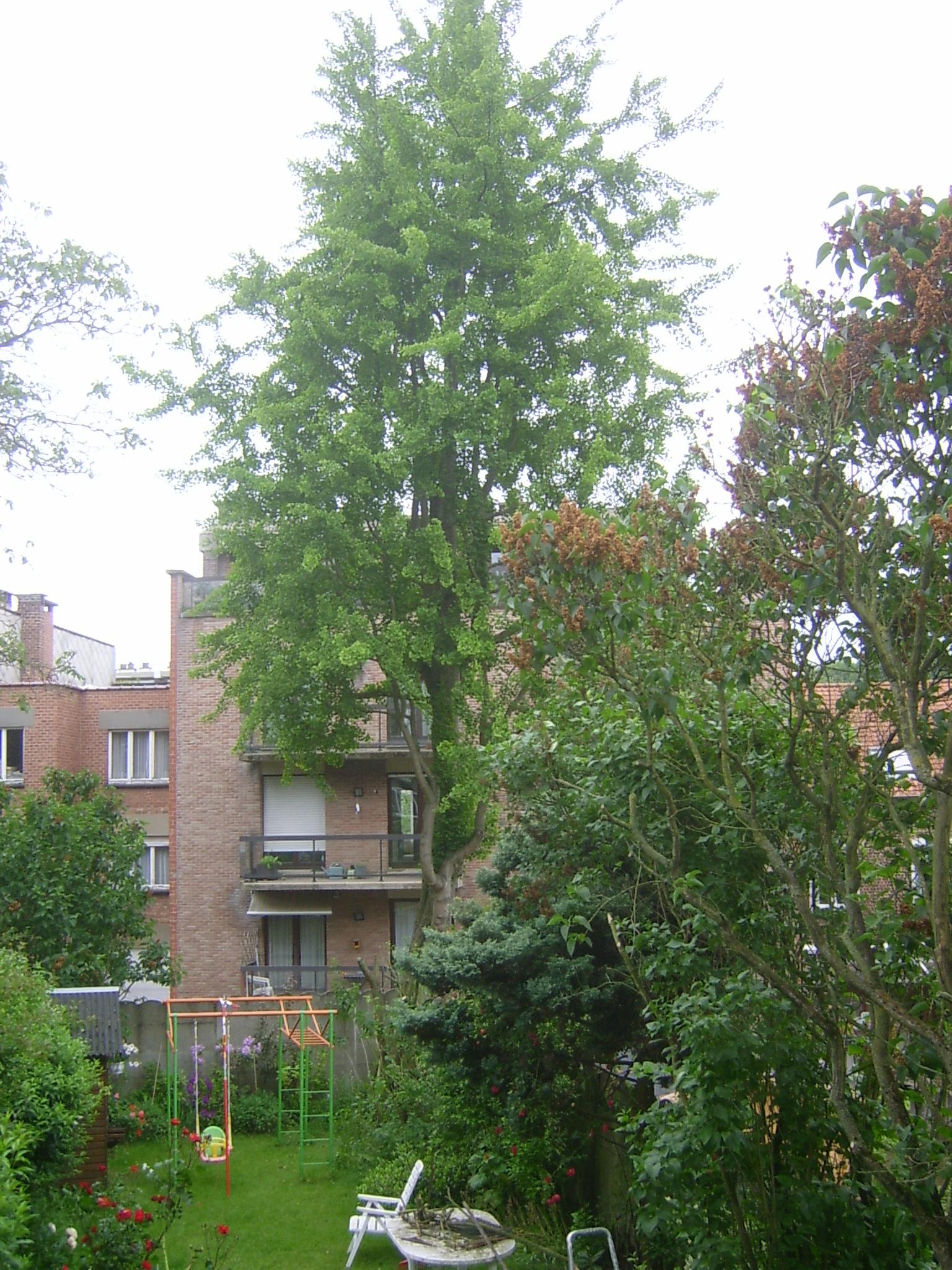Arbre aux quarante écus – Woluwé-Saint-Lambert, Avenue Georges Henri, 30 –  19 Juin 2013