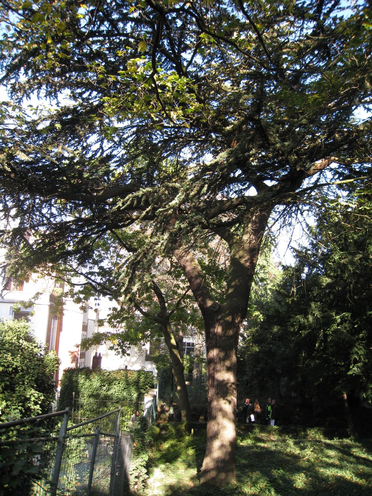 Cèdre du Liban – Bruxelles, Parc d'Egmont –  15 Octobre 2009