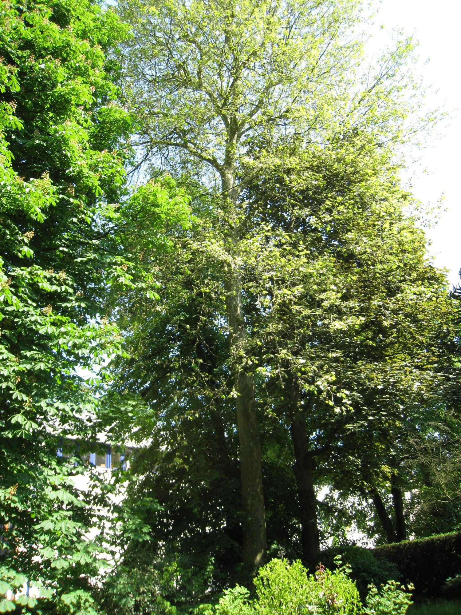 Platane à feuille d'érable – Ixelles, Avenue du Bois de la Cambre, 218 –  06 Juin 2013