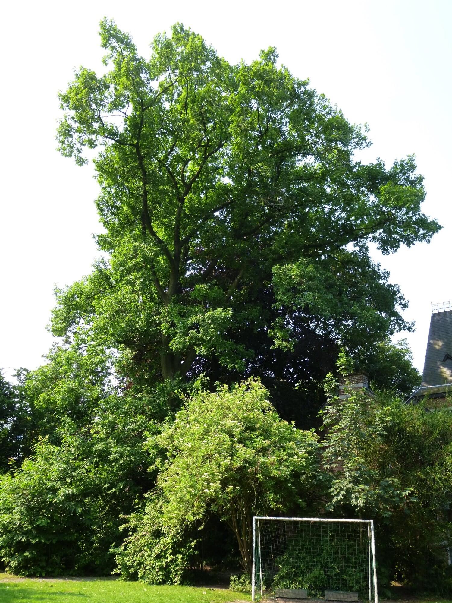 Chêne rouge d'Amérique – Etterbeek, Rue Père Eudore Devroye, 29 –  26 Juin 2013