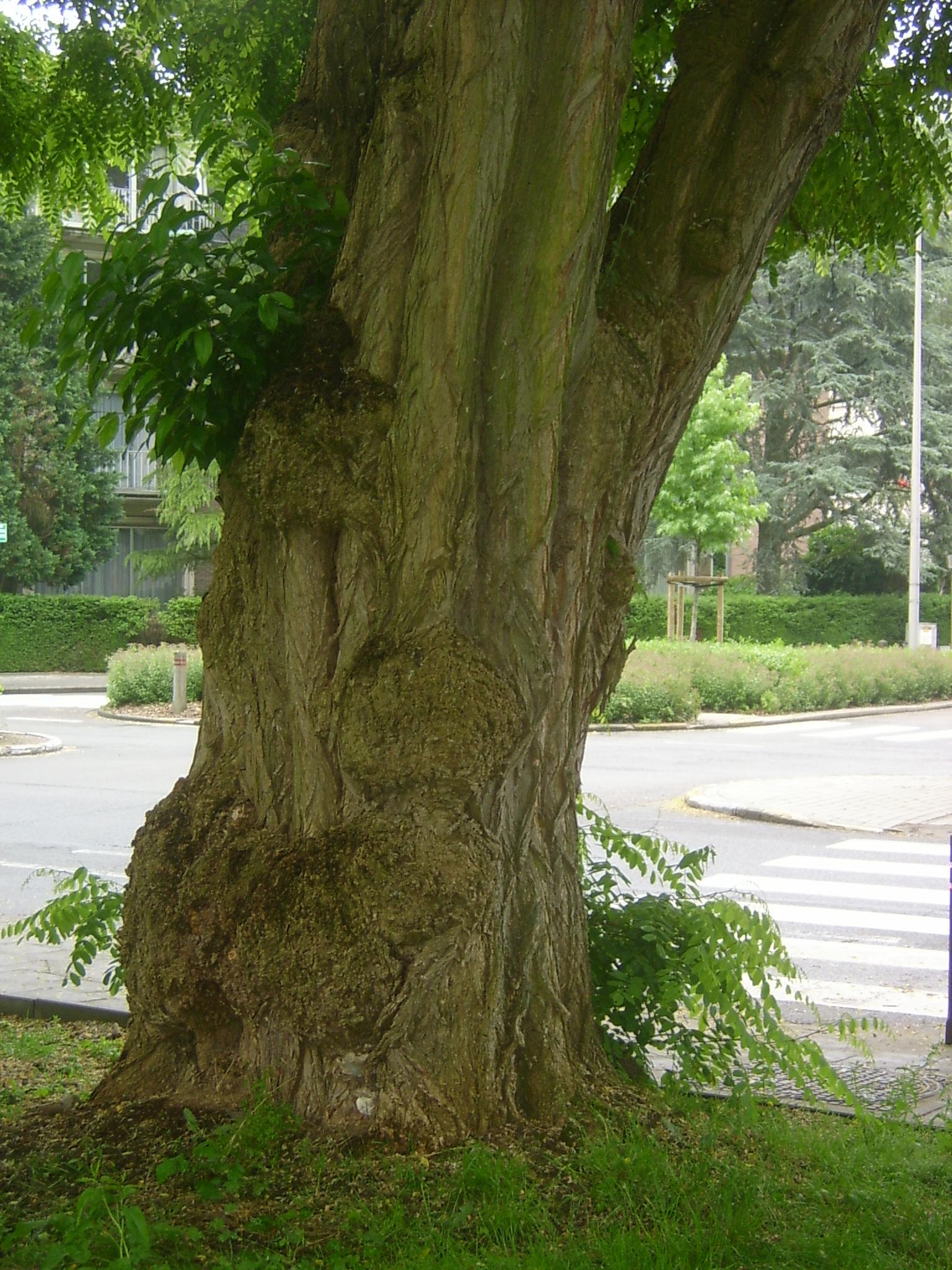Robinier faux-acacia – Woluwé-Saint-Pierre, Avenue des Grands Prix –  28 Juin 2013