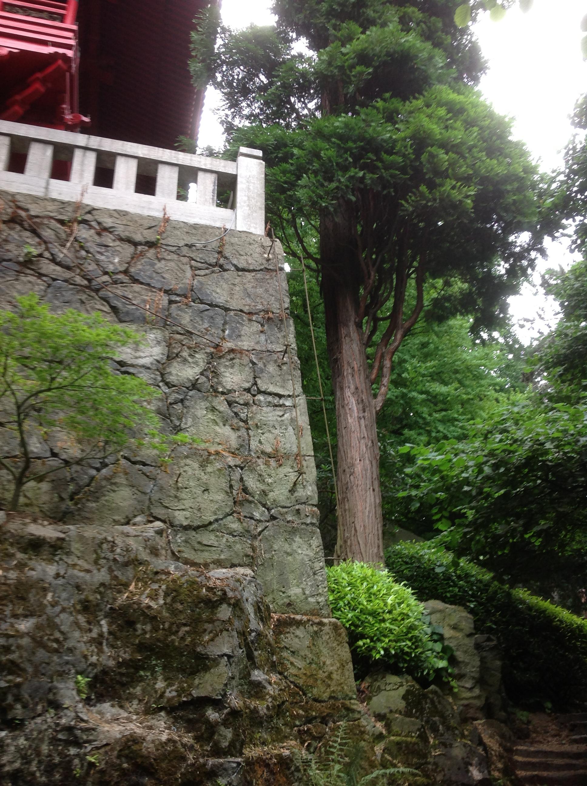 Calocèdre d'Amérique – Bruxelles, Jardin de la Tour Japonaise, Rue Jules Van Praet –  26 Juillet 2013