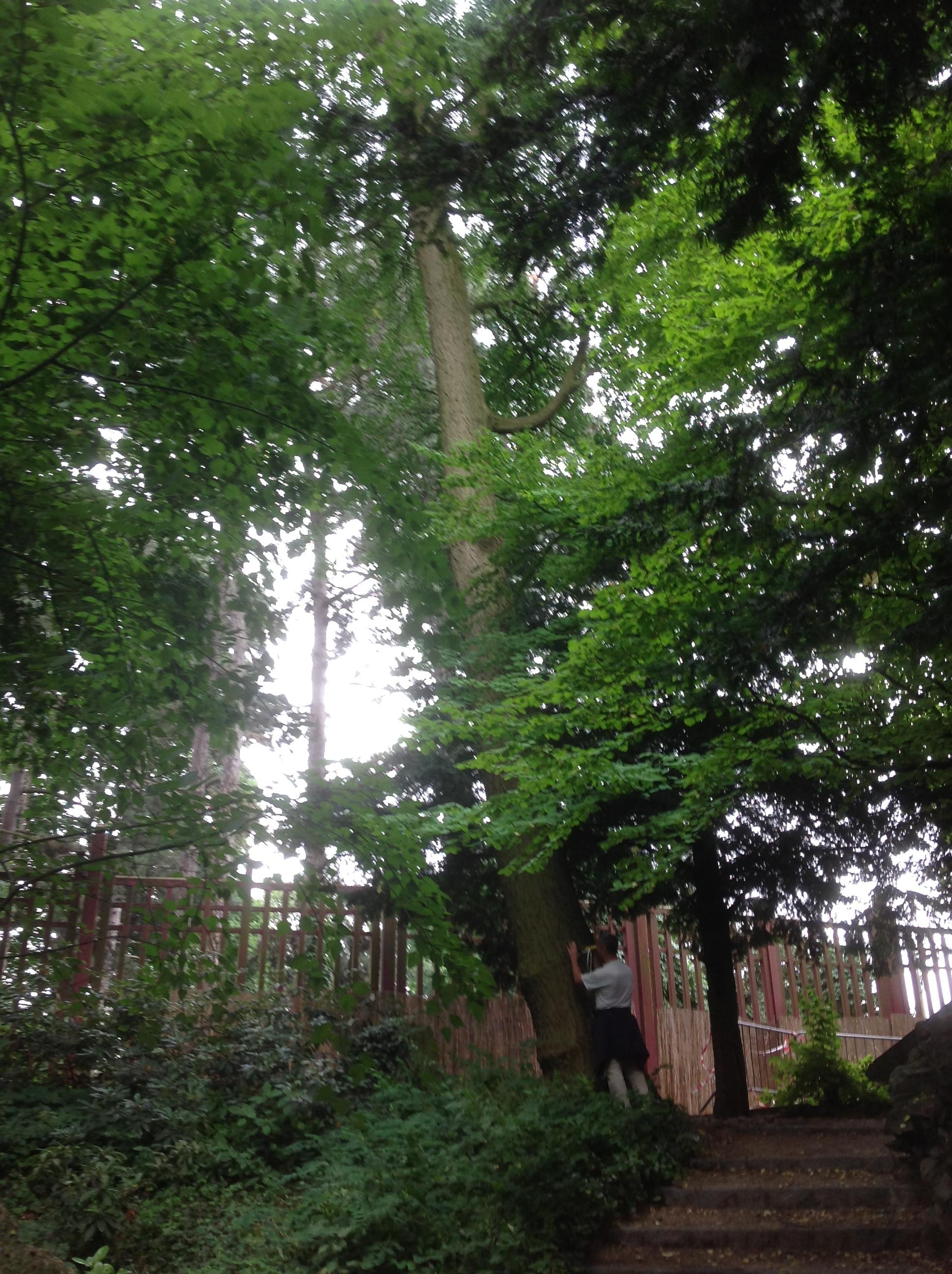 Arbre aux quarante écus – Bruxelles, Jardin de la Tour Japonaise, Rue Jules Van Praet –  26 Juillet 2013