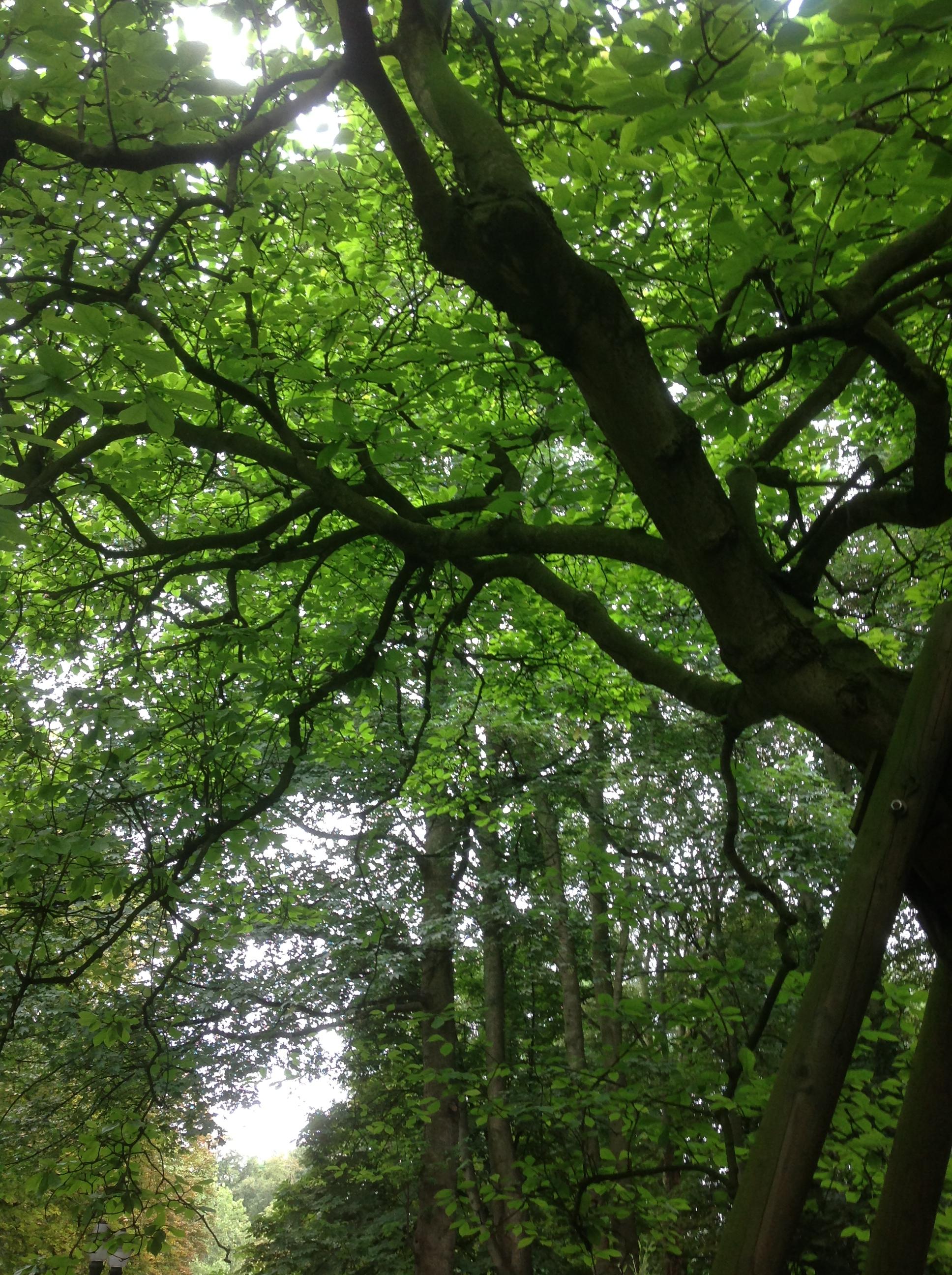 Magnolier de Soulange – Bruxelles, Jardin de la Tour Japonaise, Rue Jules Van Praet –  26 Juillet 2013