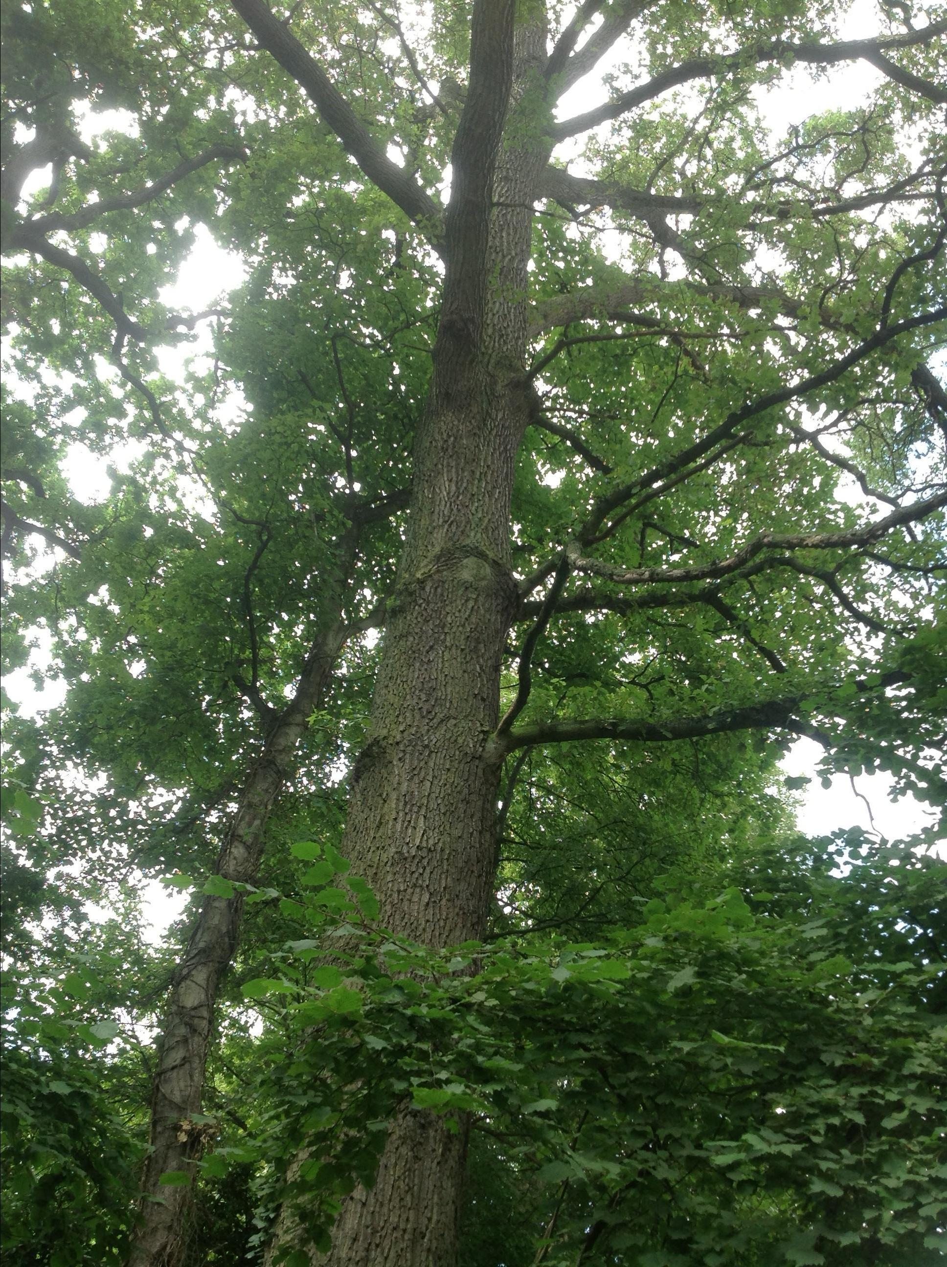 Quercus sp – Watermaal-Bosvoorde, Ottervangerstraat, 69 –  20 August 2013