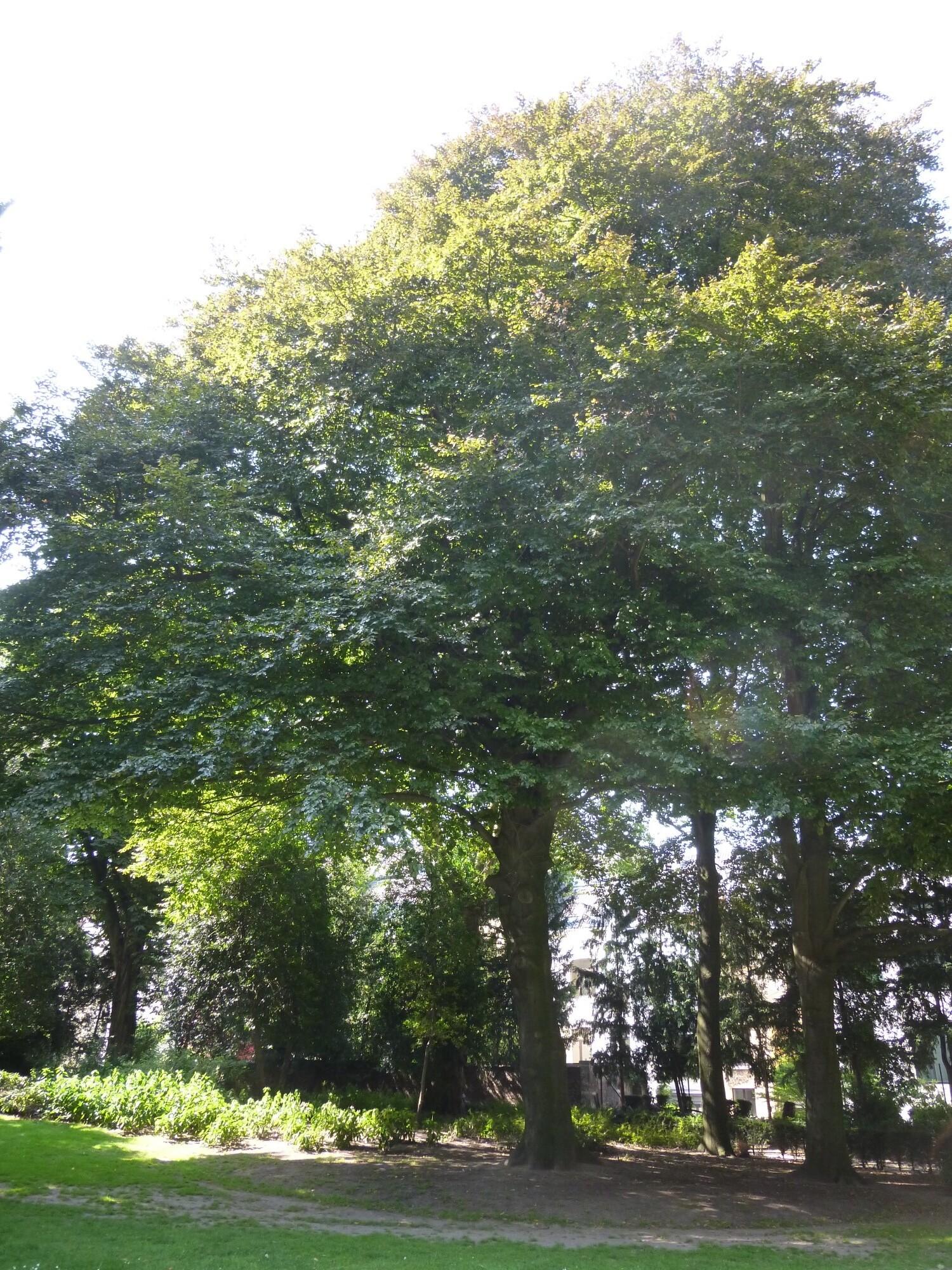 Beuk – Brussel, Egmontpark –  22 August 2013