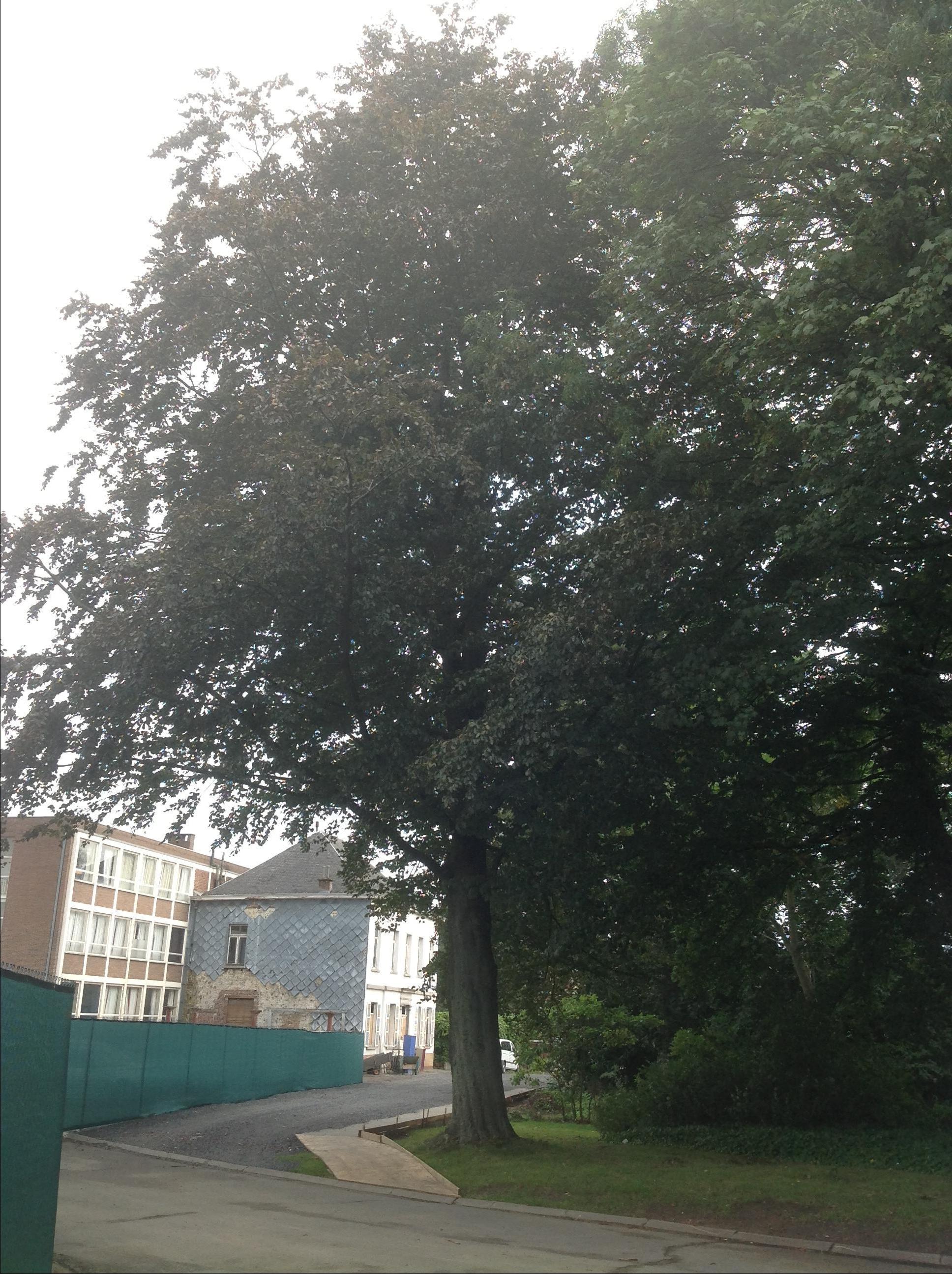 Hêtre pourpre – Berchem-Sainte-Agathe, Rue de Dilbeek, 1 –  19 Septembre 2013
