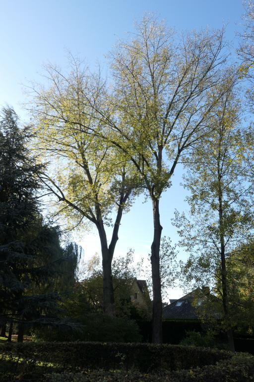 Peuplier du Canada – Berchem-Sainte-Agathe, Parc Jean Monnet, Rue des Châlets –  08 Novembre 2019