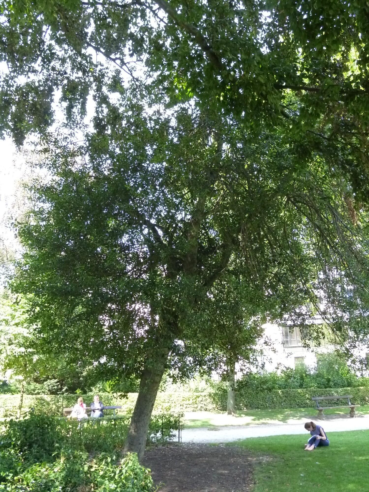 Ilex aquifolium 'Pyramidalis' – Bruxelles, Parc d'Egmont –  21 Août 2013