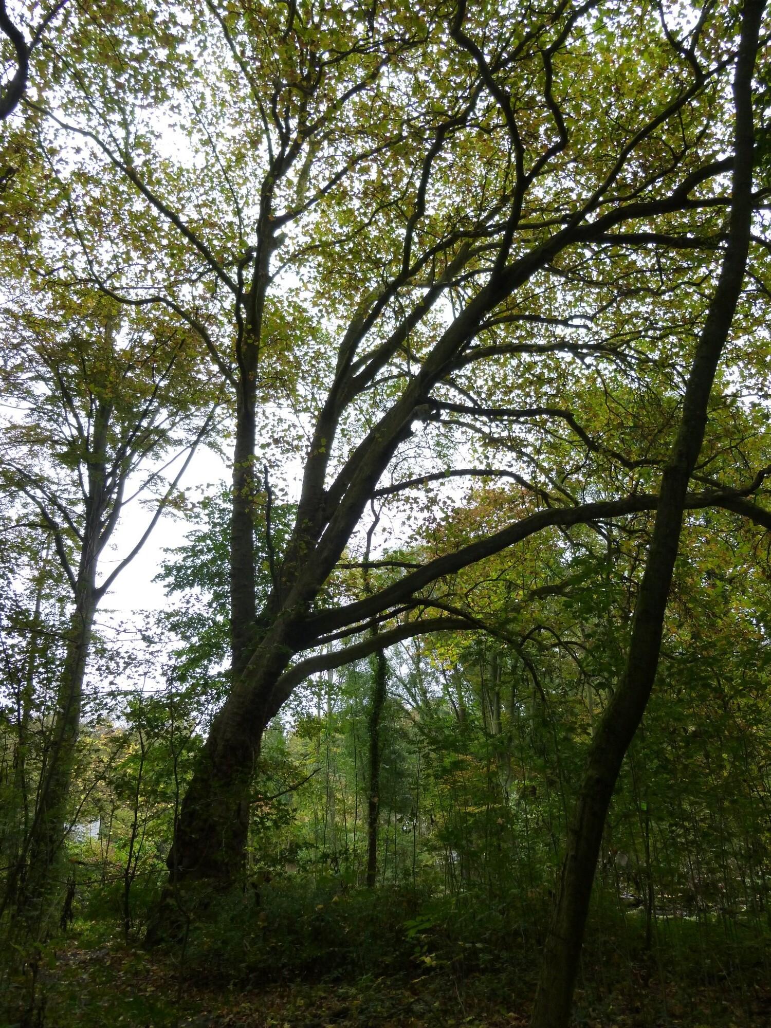 Platane à feuille d'érable – Uccle, Kinsendael, Rue Engeland –  25 Octobre 2013