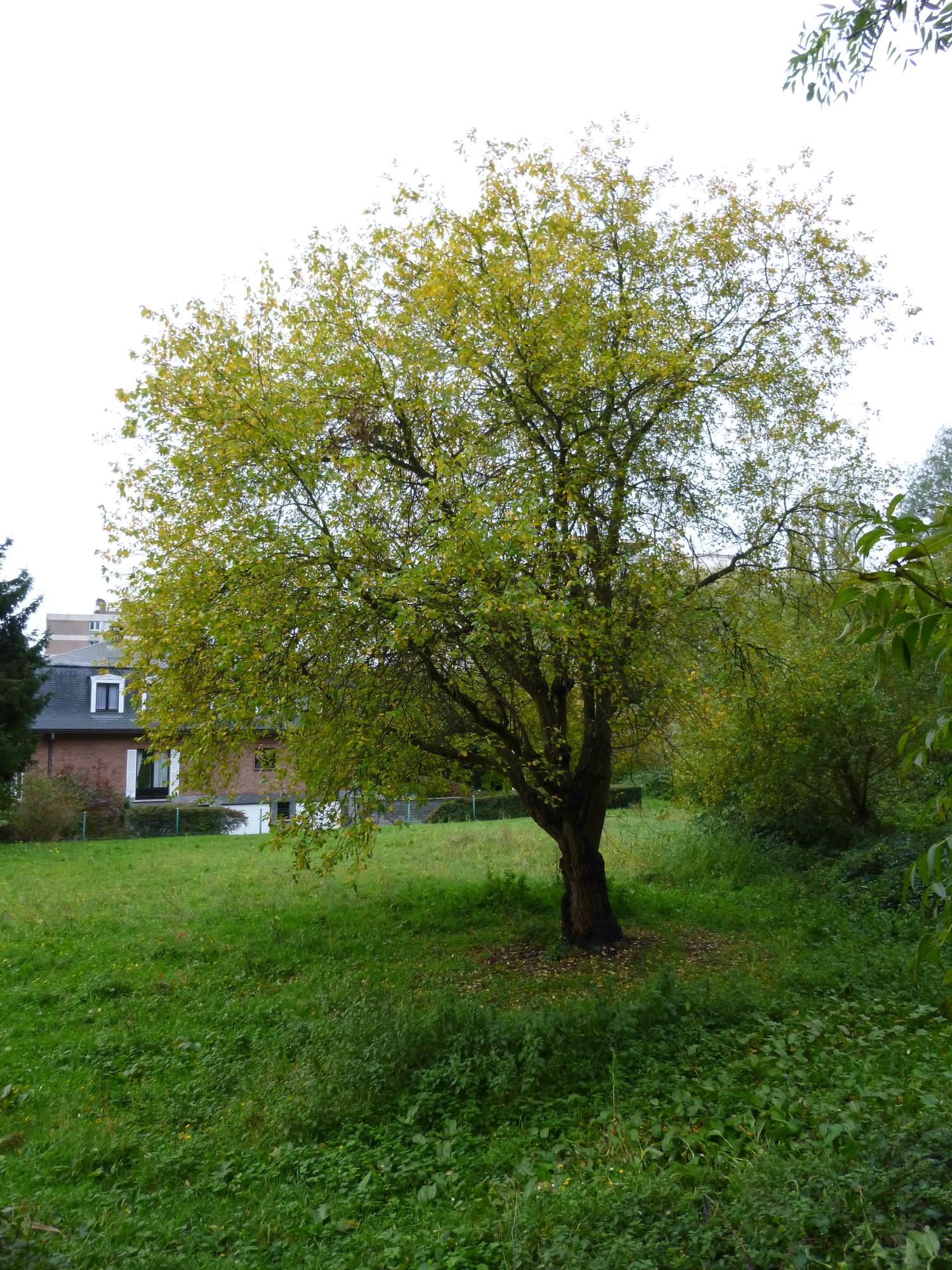 salix caprea saule marsault inventaire des arbres remarquables r gion de bruxelles capitale. Black Bedroom Furniture Sets. Home Design Ideas