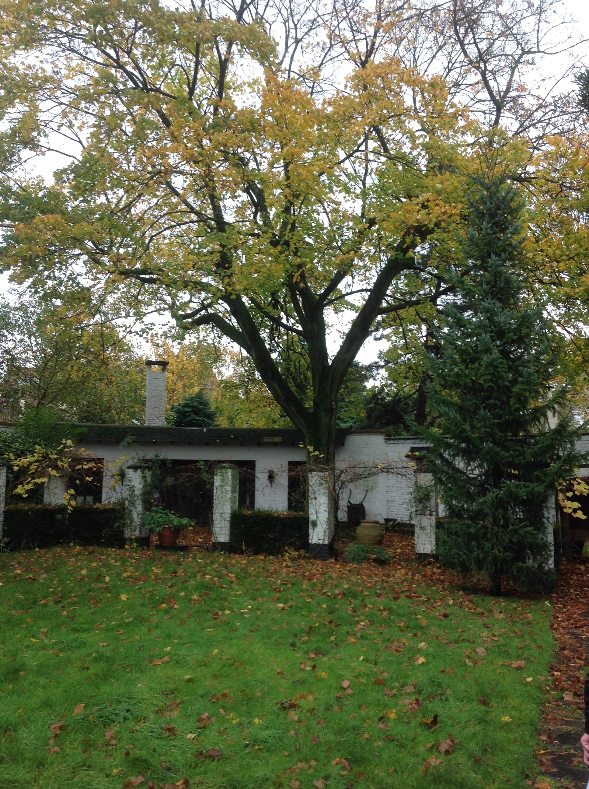 Erable plane – Ganshoren, Jardin de la maison Vandevelde, Avenue Jacques Sermon, 25 –  19 Novembre 2013