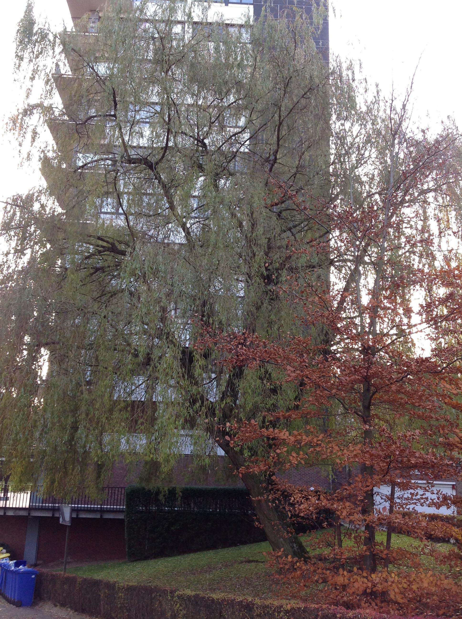 Saule pleureur – Jette, Avenue Henri Liebrecht –  02 Décembre 2013