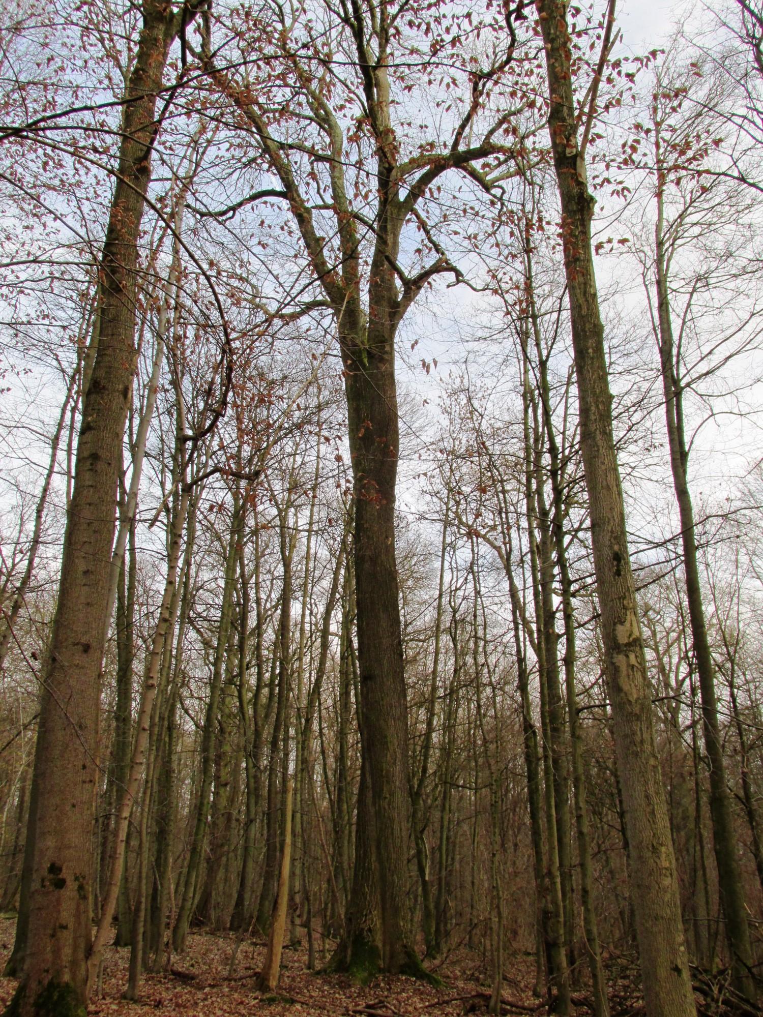 Gewone es – Ukkel, Zoniënwoud, Boendael IV –  01 Januari 2014