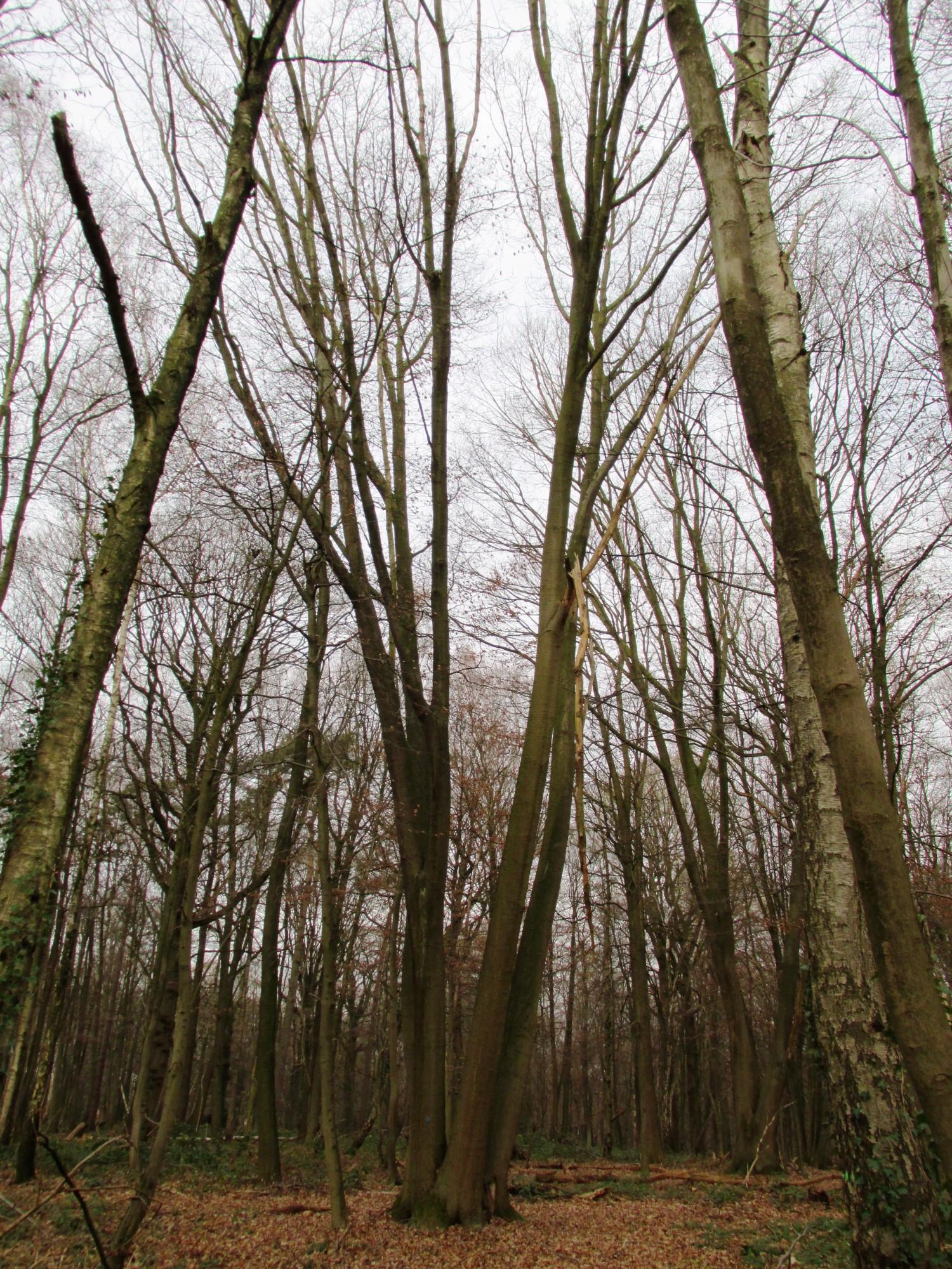 Chêne rouge d'Amérique – Uccle, Forêt de Soignes, Boendael III –  01 Janvier 2014