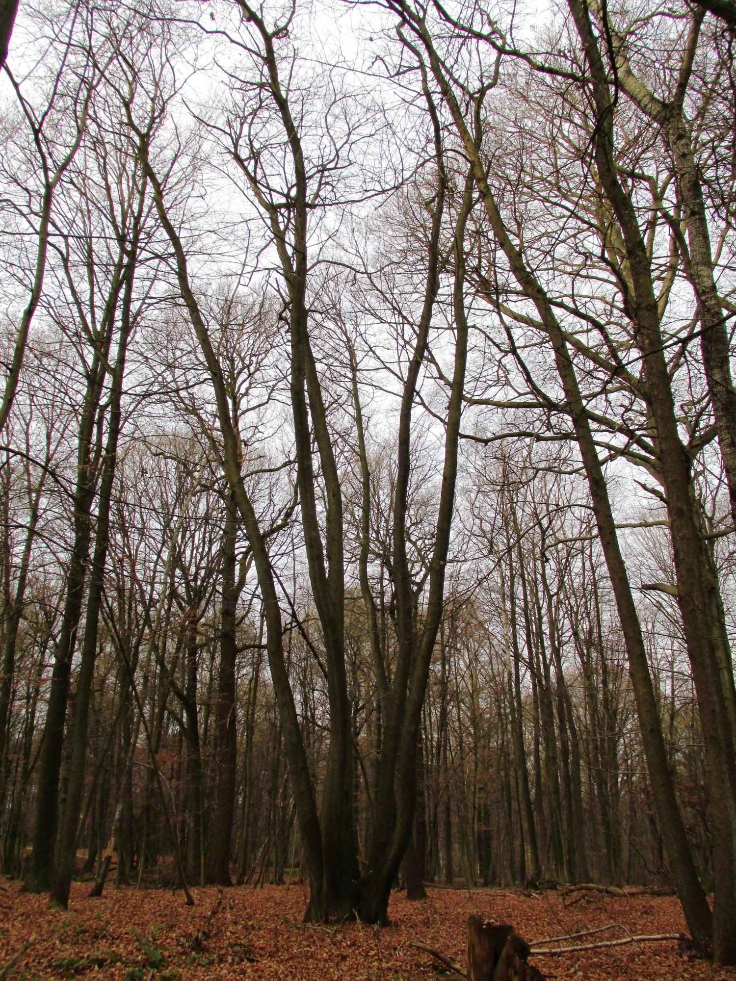 Châtaignier – Uccle, Forêt de Soignes, Boendael III –  01 Janvier 2014