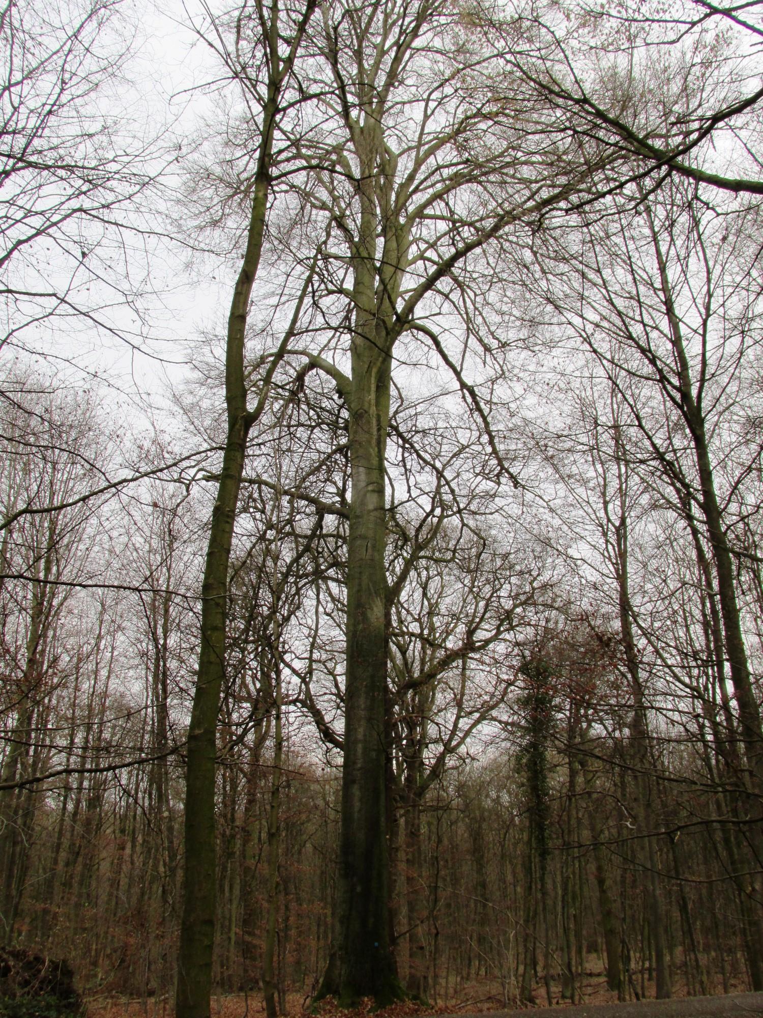Hêtre d'Europe – Uccle, Forêt de Soignes, Boendael III –  01 Janvier 2014