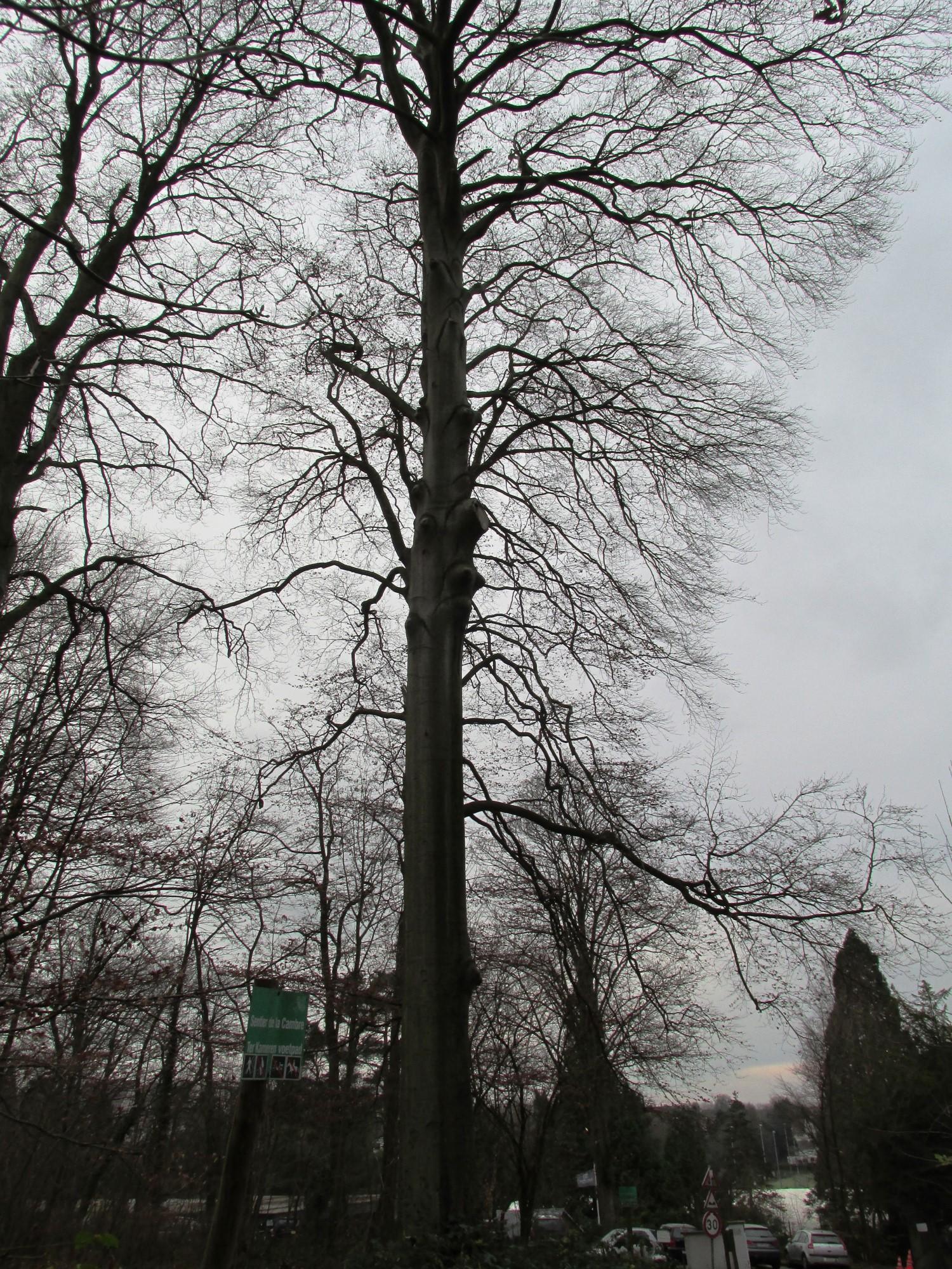 Hêtre d'Europe – Uccle, Forêt de Soignes, Boendael I –  01 Janvier 2014